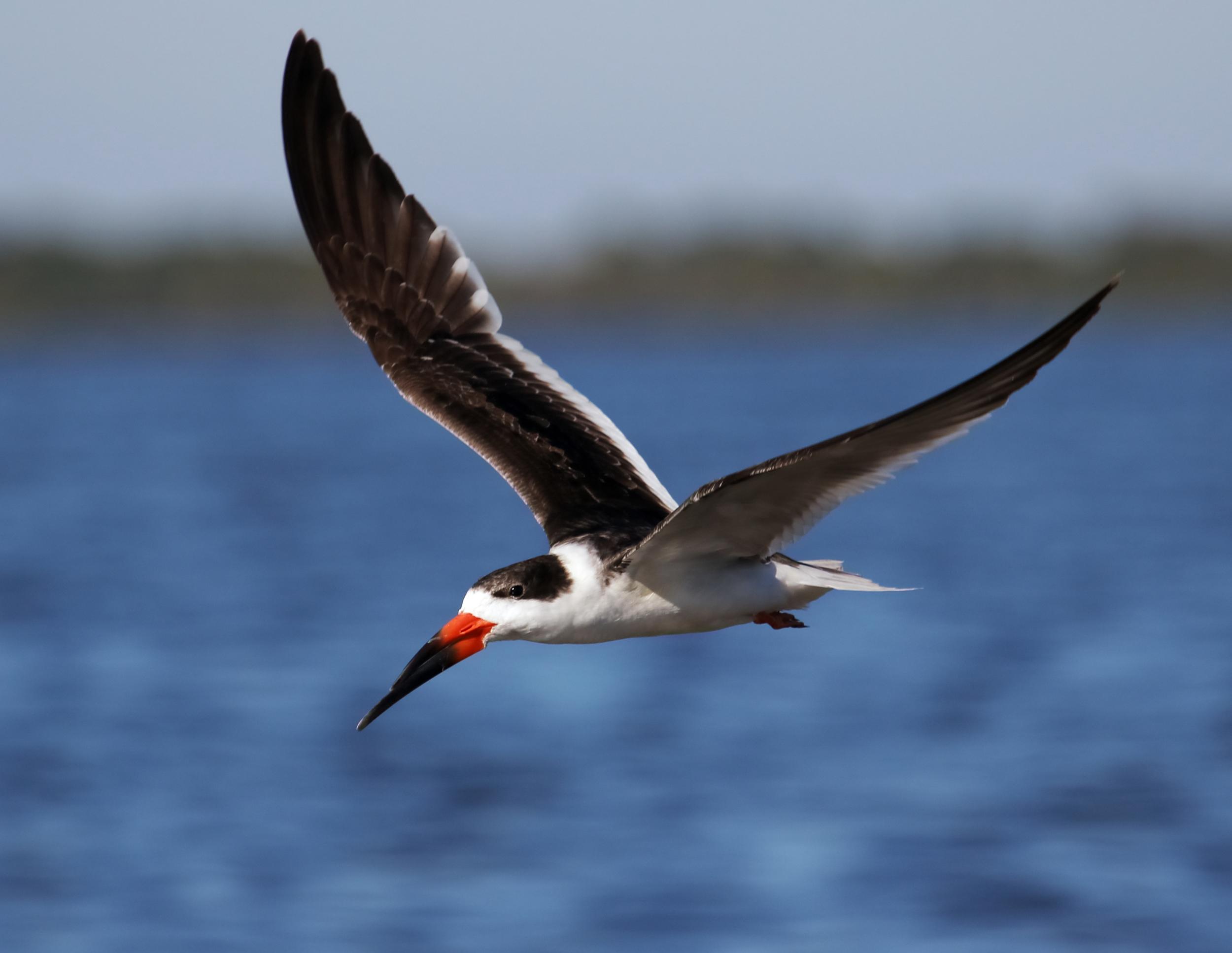 Black skimmer fly by..