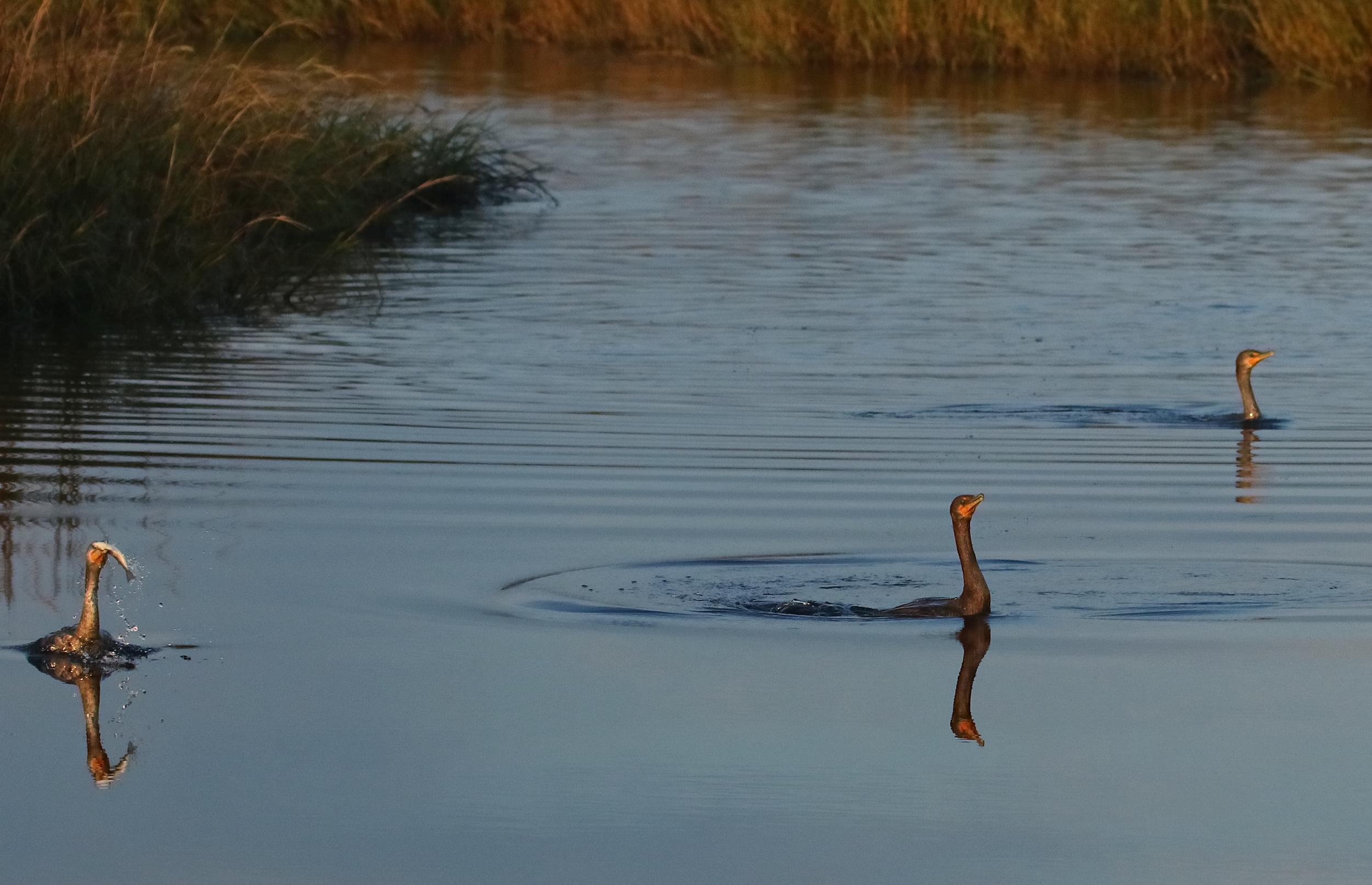 Cormorants spend half their time fishing…like the fortunate one on the left…and
