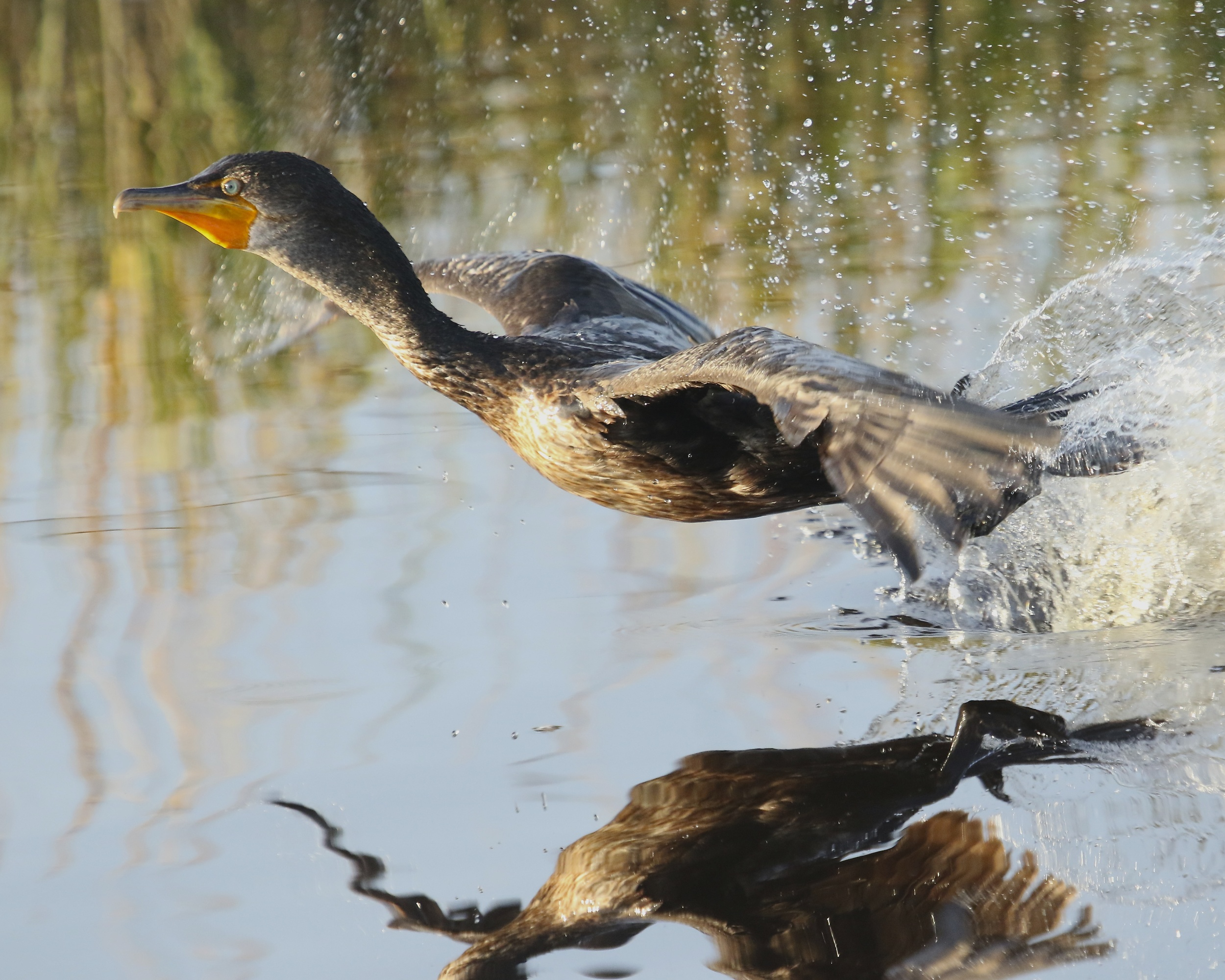 The cormorant suddenly launches skyward like a rocket taking off!