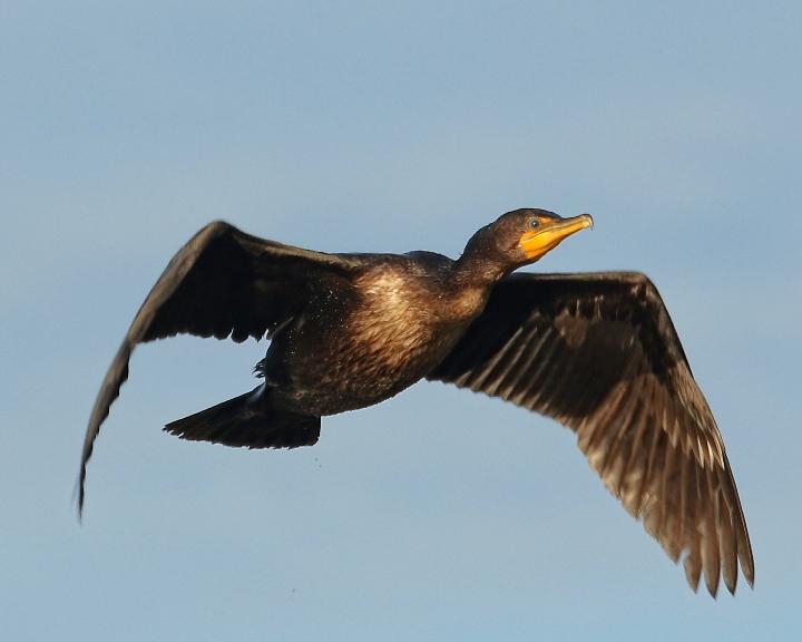 Someday like this cormorant…I'll fly away