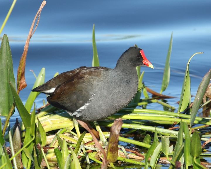 The most widely distributed member of the rail family, the Common Gallinule inhabits marshes and ponds from Canada to Chile, from northern Europe to southern Africa, and across Asia to the Pacific.