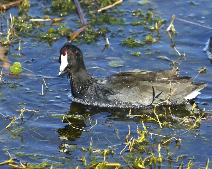 """The waterborne American Coot is one good reminder that not everything that floats is a duck."" Cornell Laboratory of Ornithology"