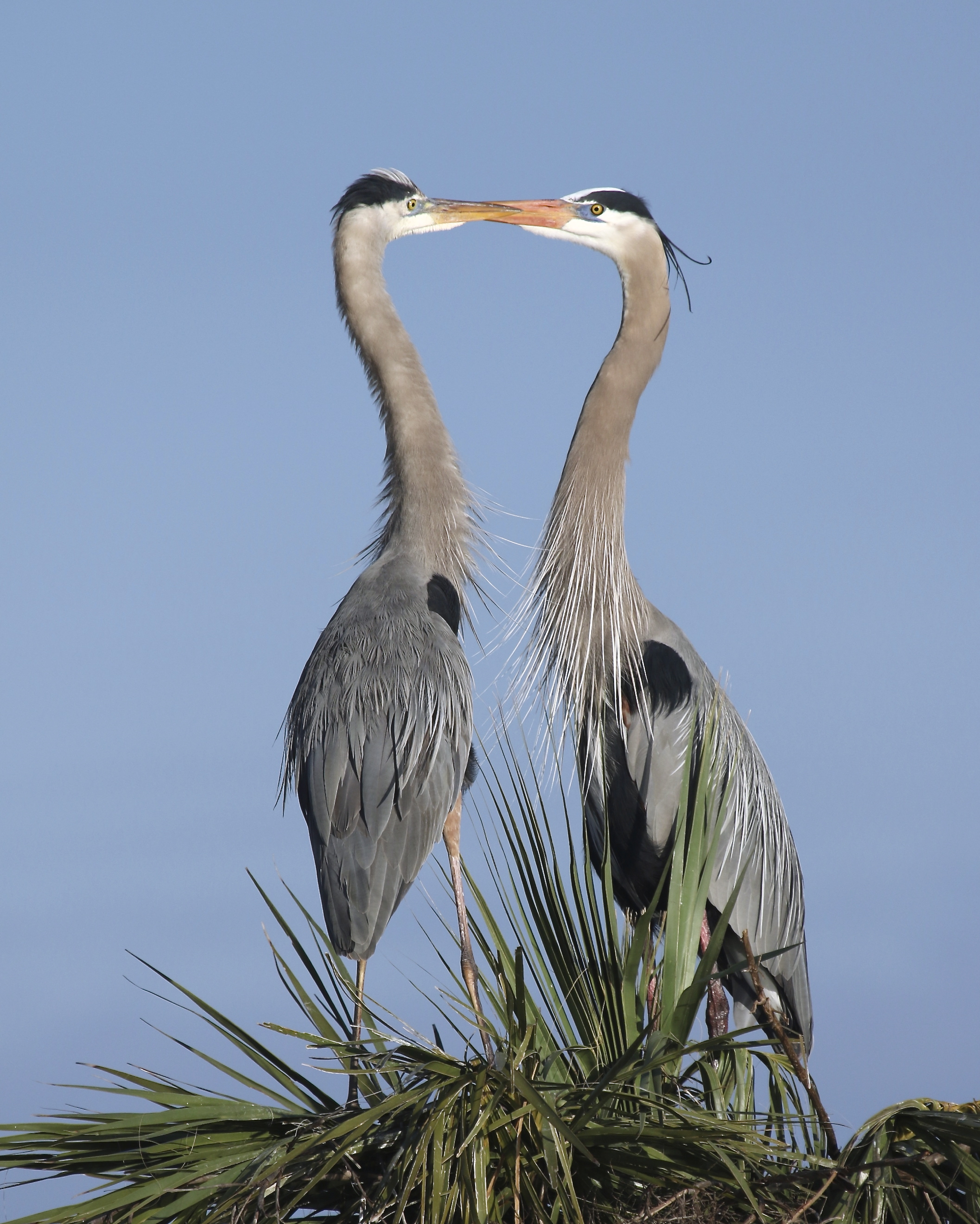 "And then it happened..Gorgeous Greta, a Great Blue ""Heroness"" lands on his palm tree pad and gives Gus ""the look""."