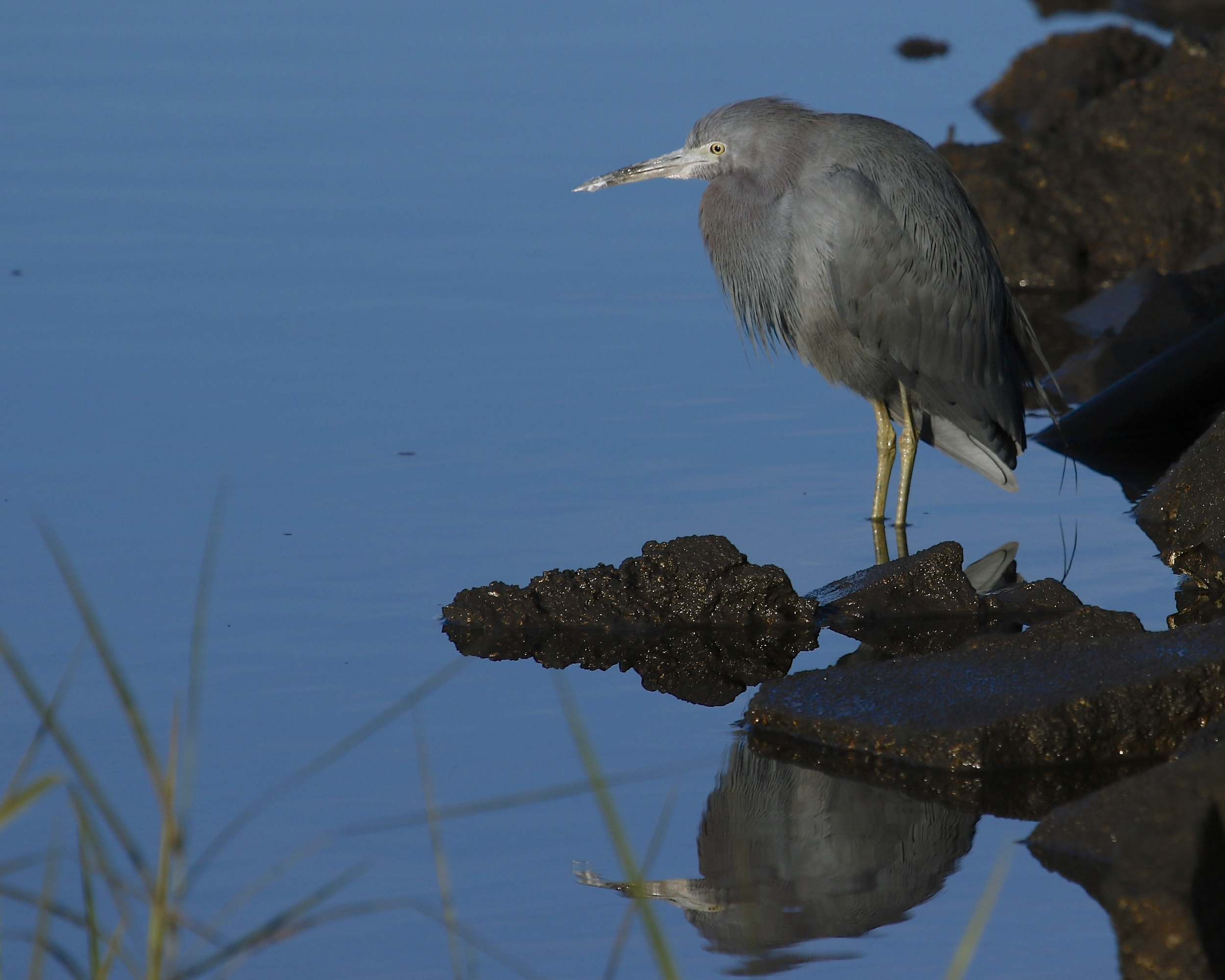 Meet   Broward Bob  , the Little Blue Heron and official weather prognosticator for the Broward (not as well known perhaps as   Punxsutawney Phil   but easier to spell).