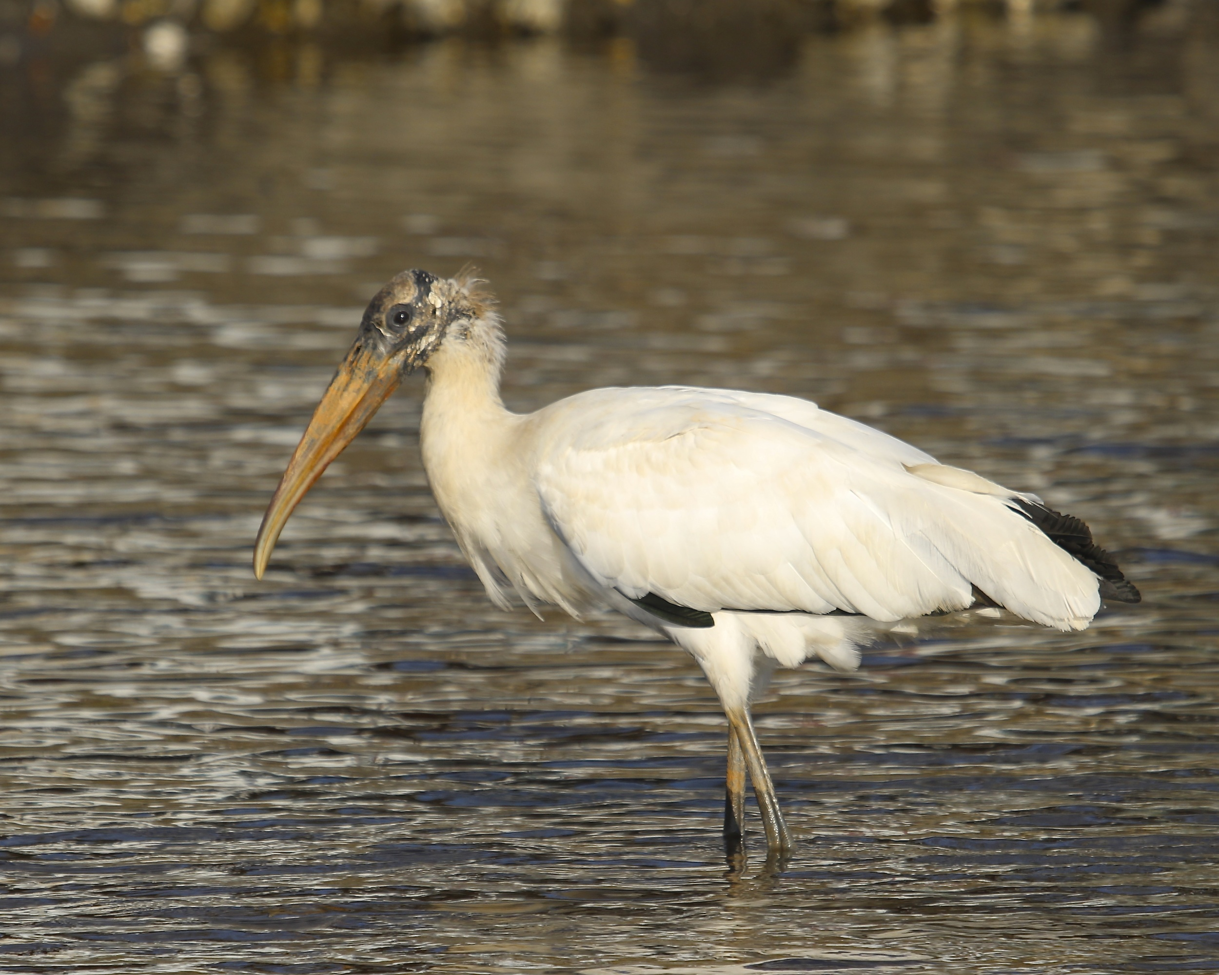 Who ate all the food said the Wood Stork!