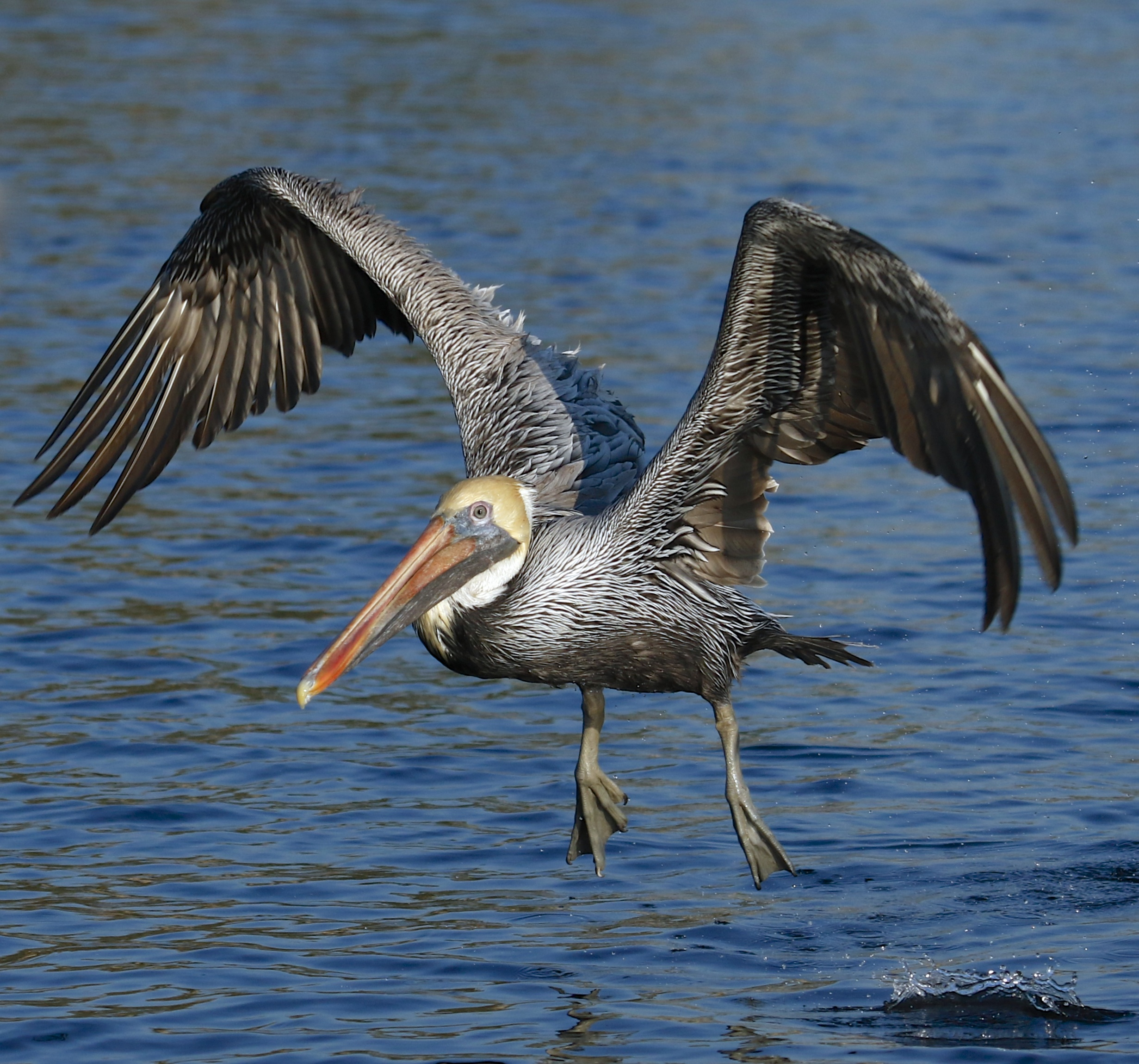 Come on gang, it is time to go to work on the river! The Brown Pelican raises its mighty wings and lifts off!