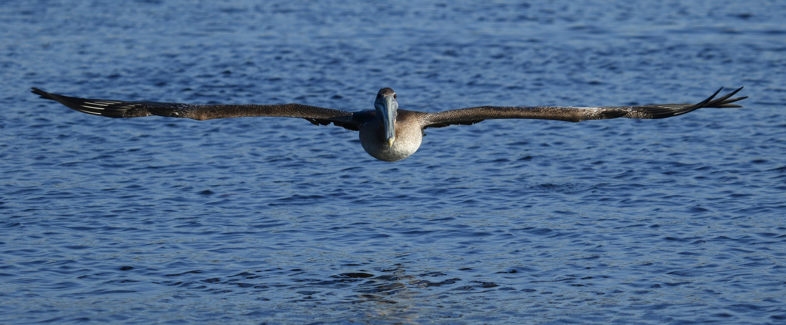 With a wing span that can exceed 8 foot this juvenile Brown  Pelican has no problem keeping up with the crab boat.