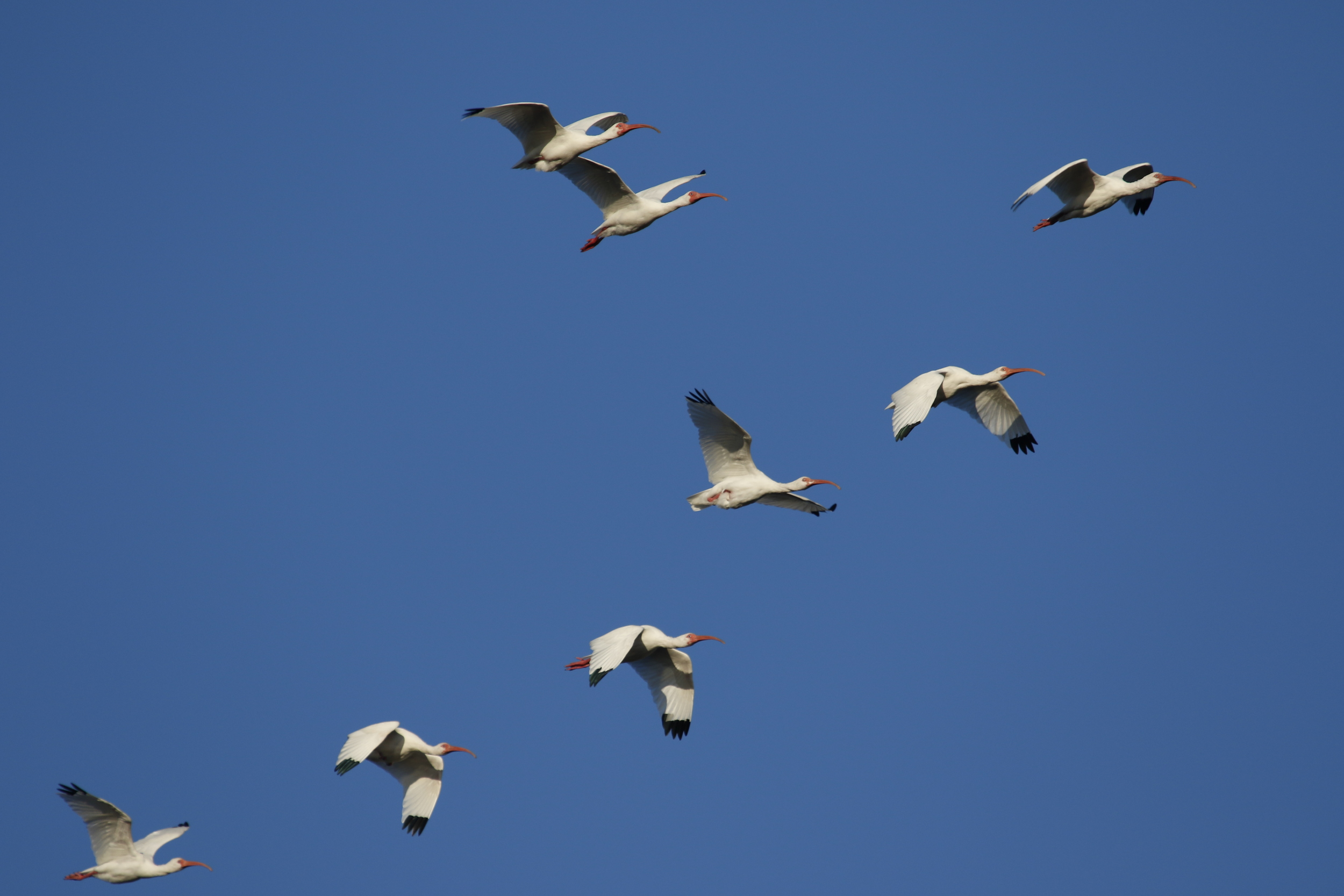 Recently I have seen a few small flocks of White Ibis heading north on their return migration. Wonder if they will stop by again this year?