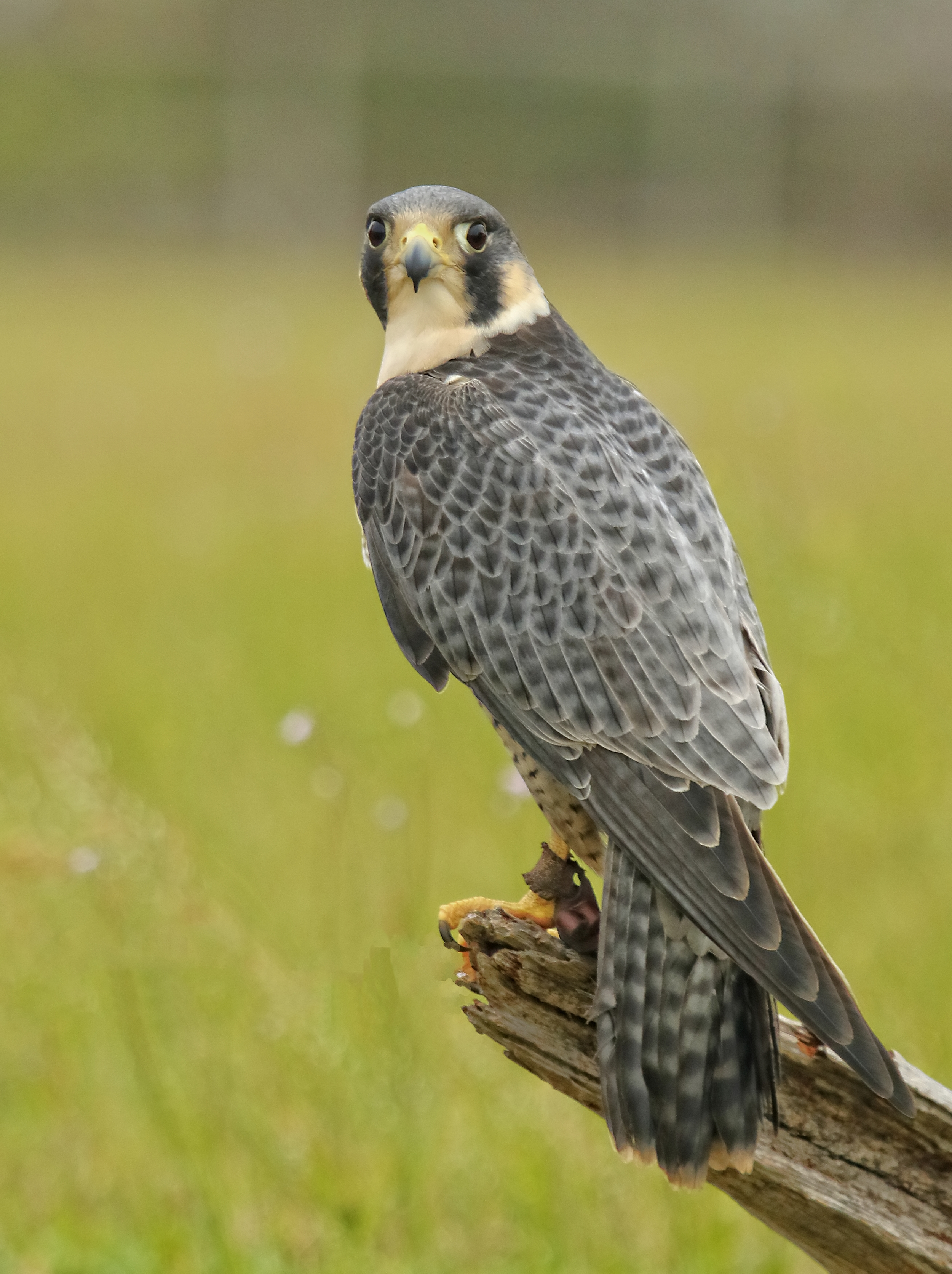 Sparky, the male Peregrine Falcon suffered a wing injury in migration.