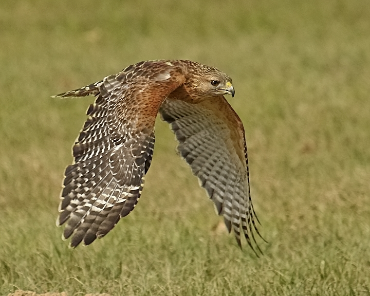 Archer, a Red Shouldered Hawk, injured when their nest was cut down, able to do short flight demos.