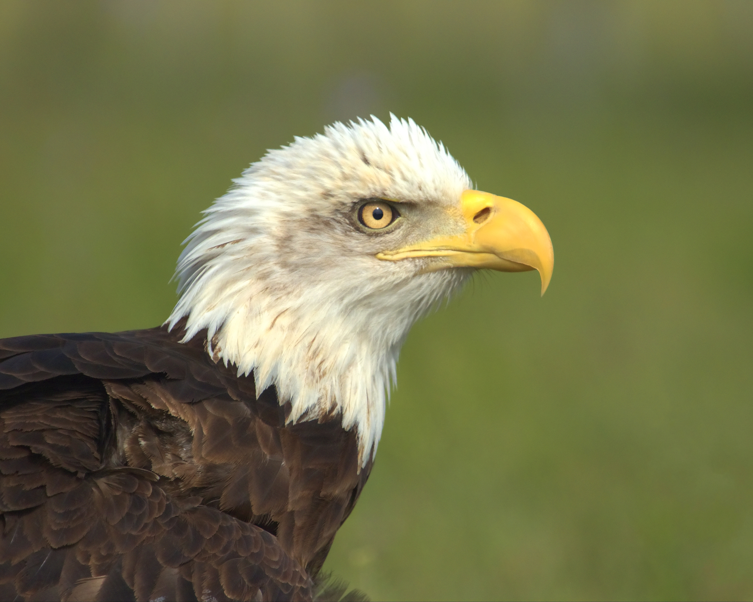 Ike, the iconic Bald Eagle, suffered a wing injury as a nestling.