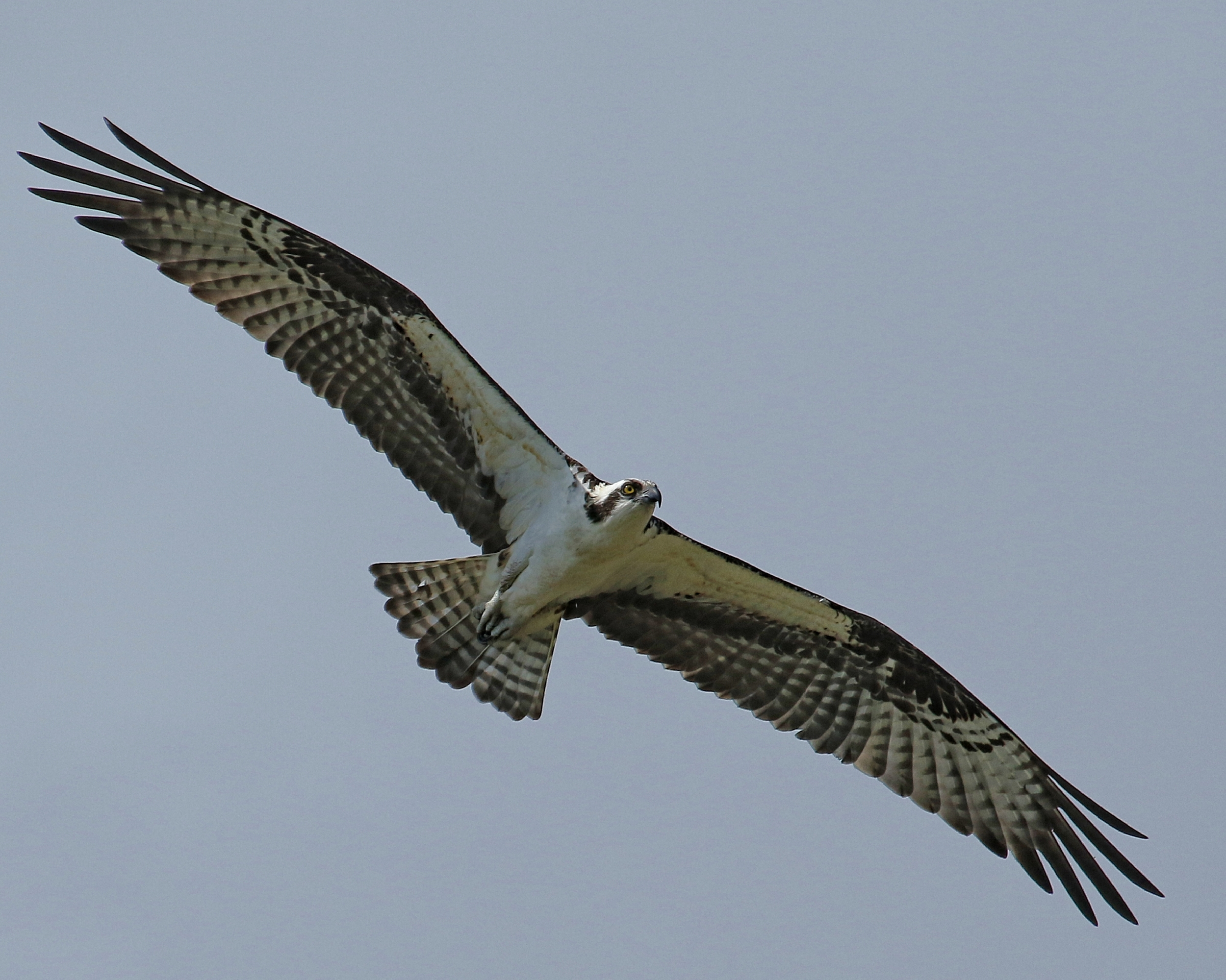 This male Osprey thinks if found a great nest site..