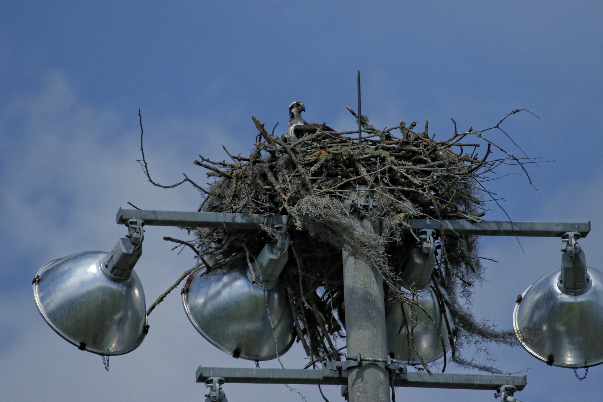 They build a nest right on top of a light pole in the middle of the local High School Athletic Field, Is that madness or what? Watch out for that fly ball!
