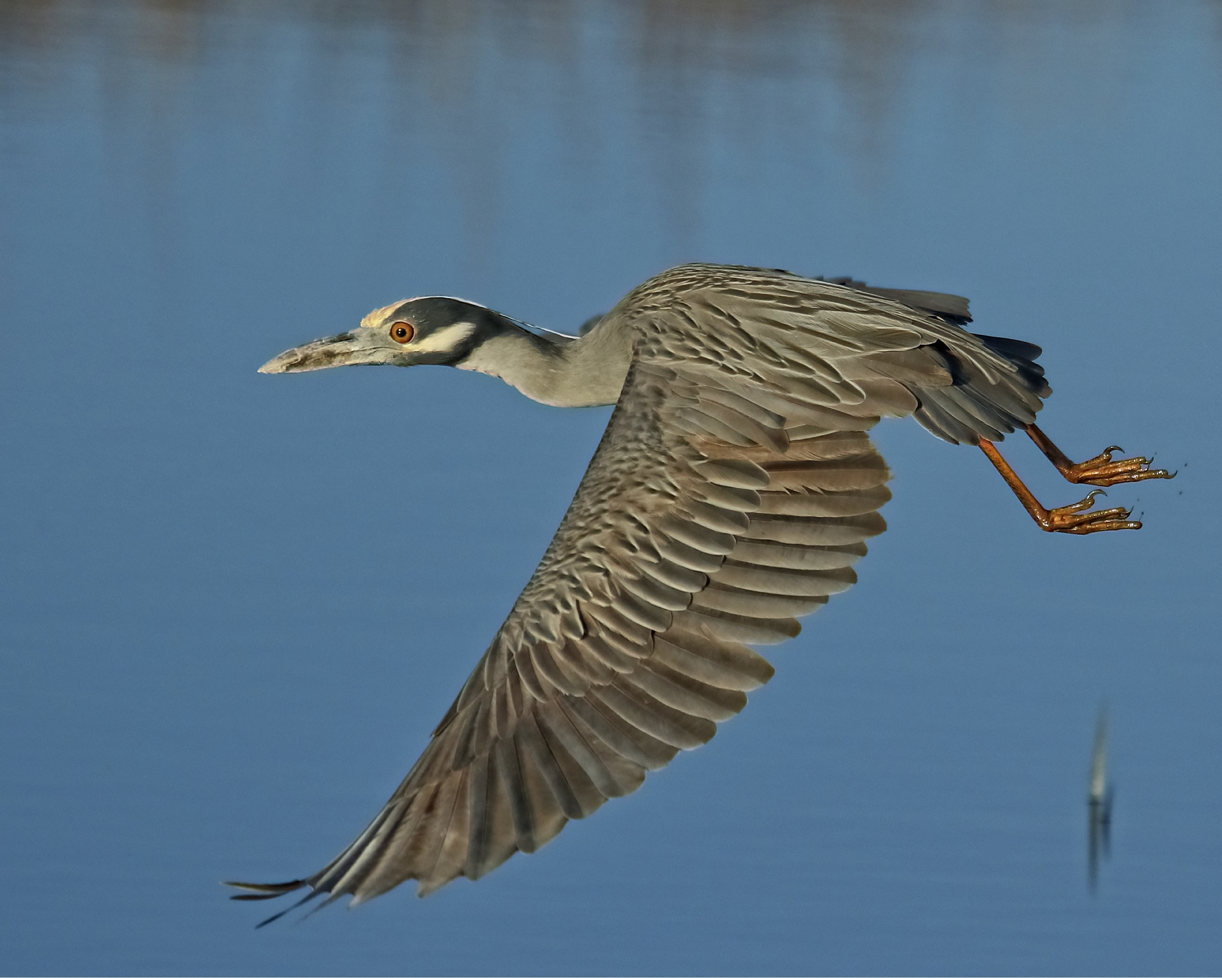 Great news! George, the Yellow Crowned Night Heron has returned and is waiting for Georgia to show up too! Time to start building that nest for George Jr.