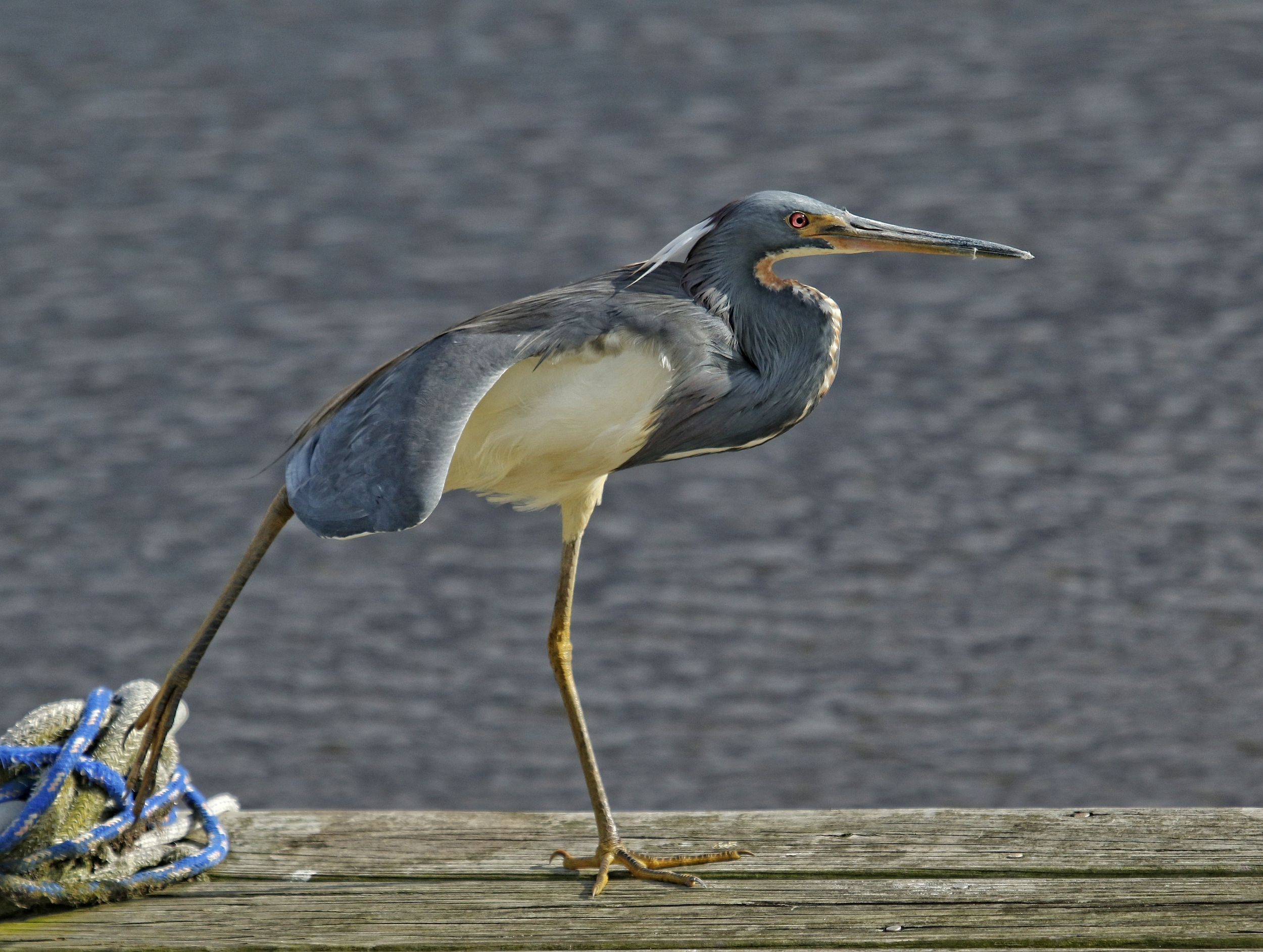 The Tricolored Heron stretches its leg…still waiting for its mate..