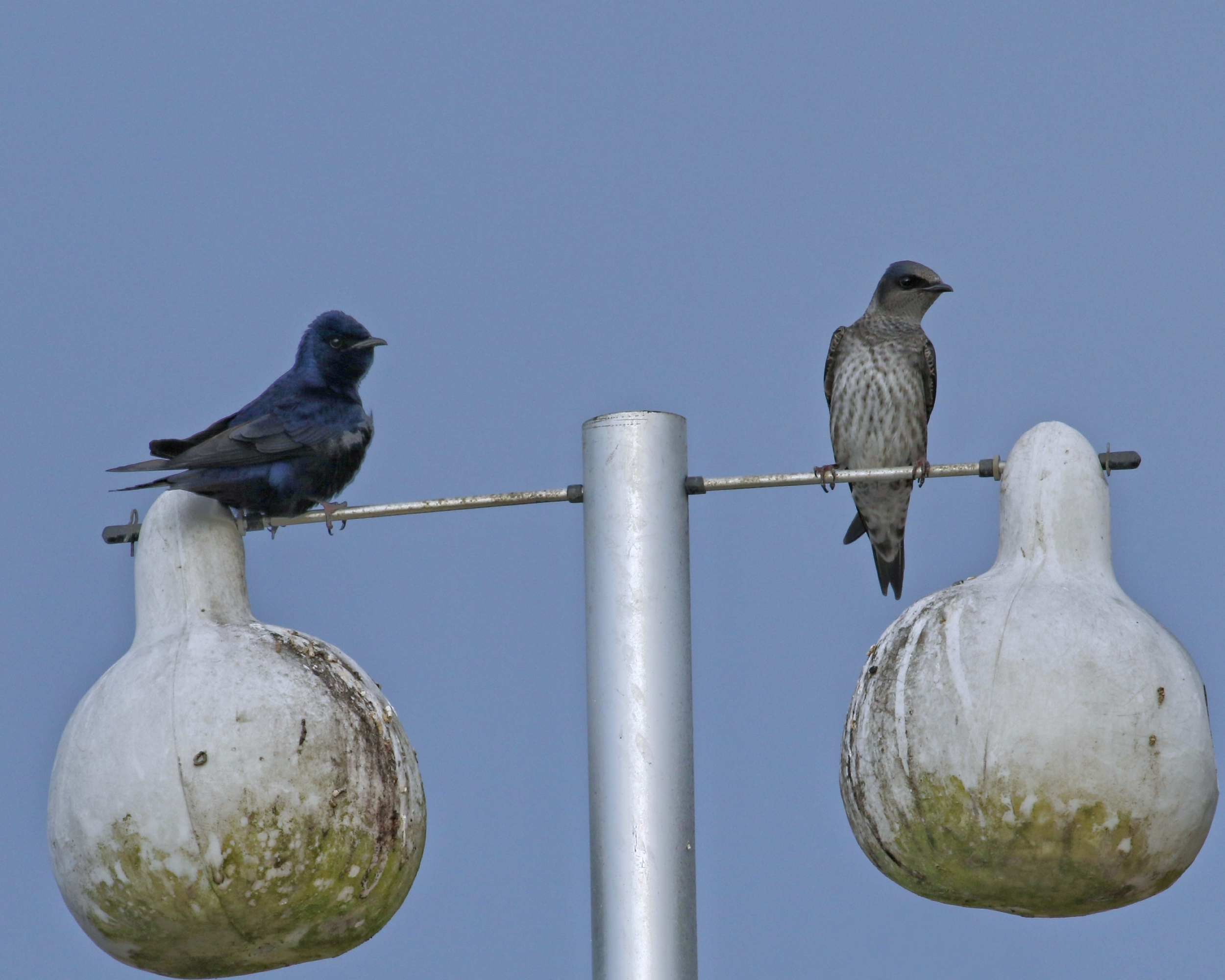 The Purple Martins don't have to look for a nesting site…they are all ready to settle in to.