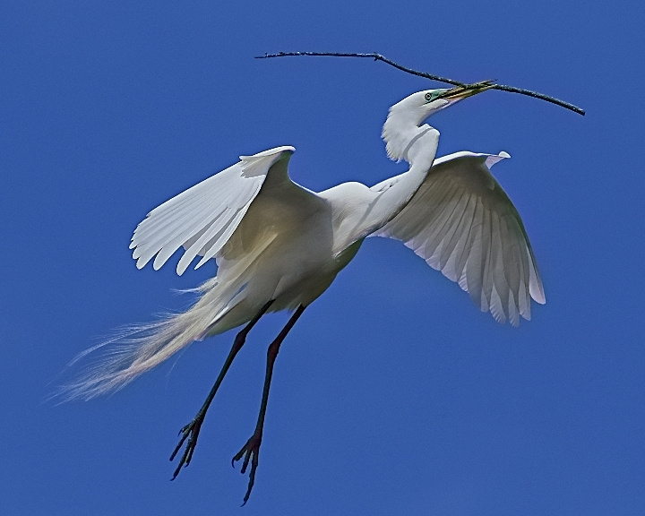 The Great Egrets in breeding plumage are busy building nests at the Alligator farm.