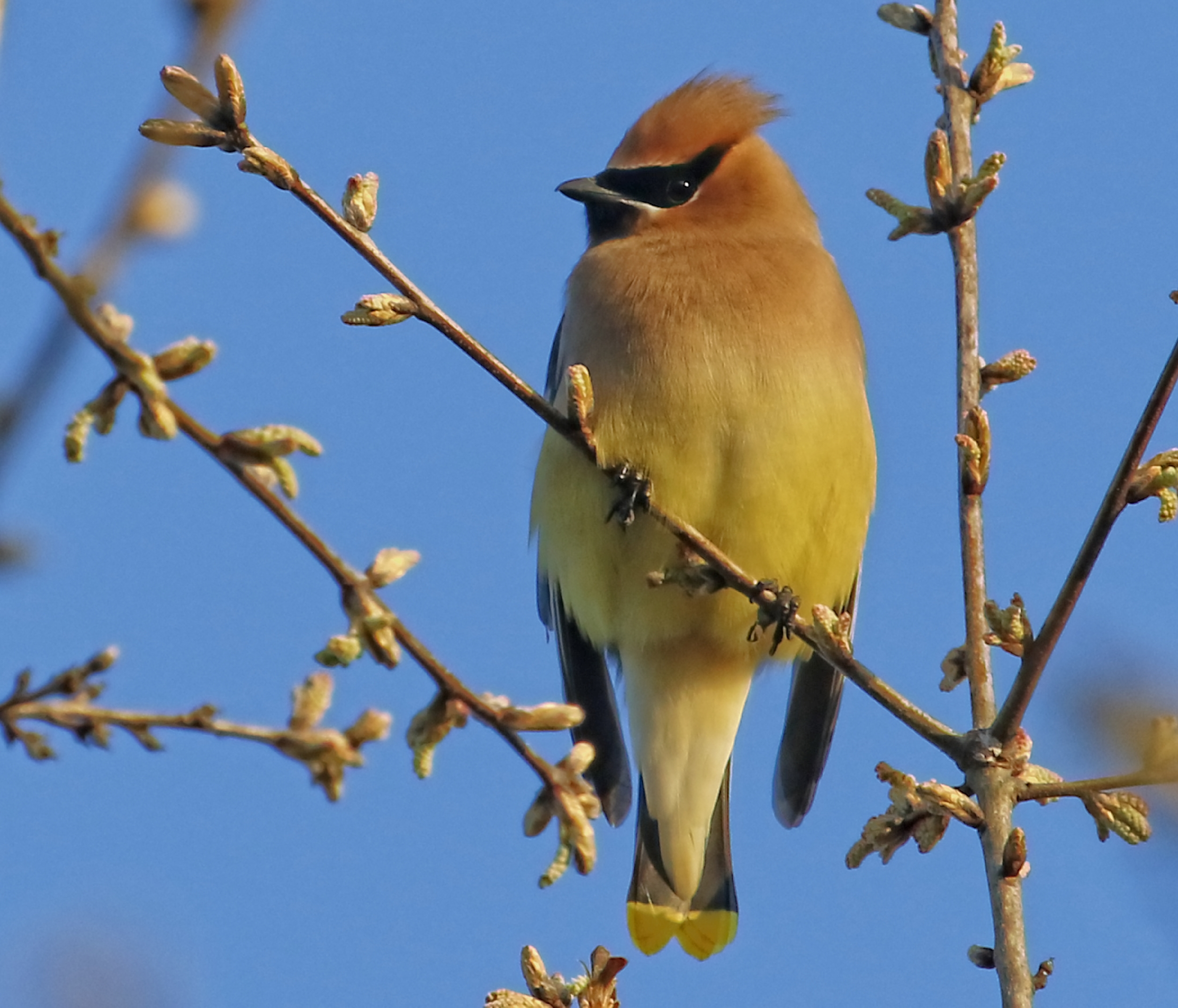 Had a first sighting of a Cedar Waxwing in the Yard this month when a small flock stopped by.