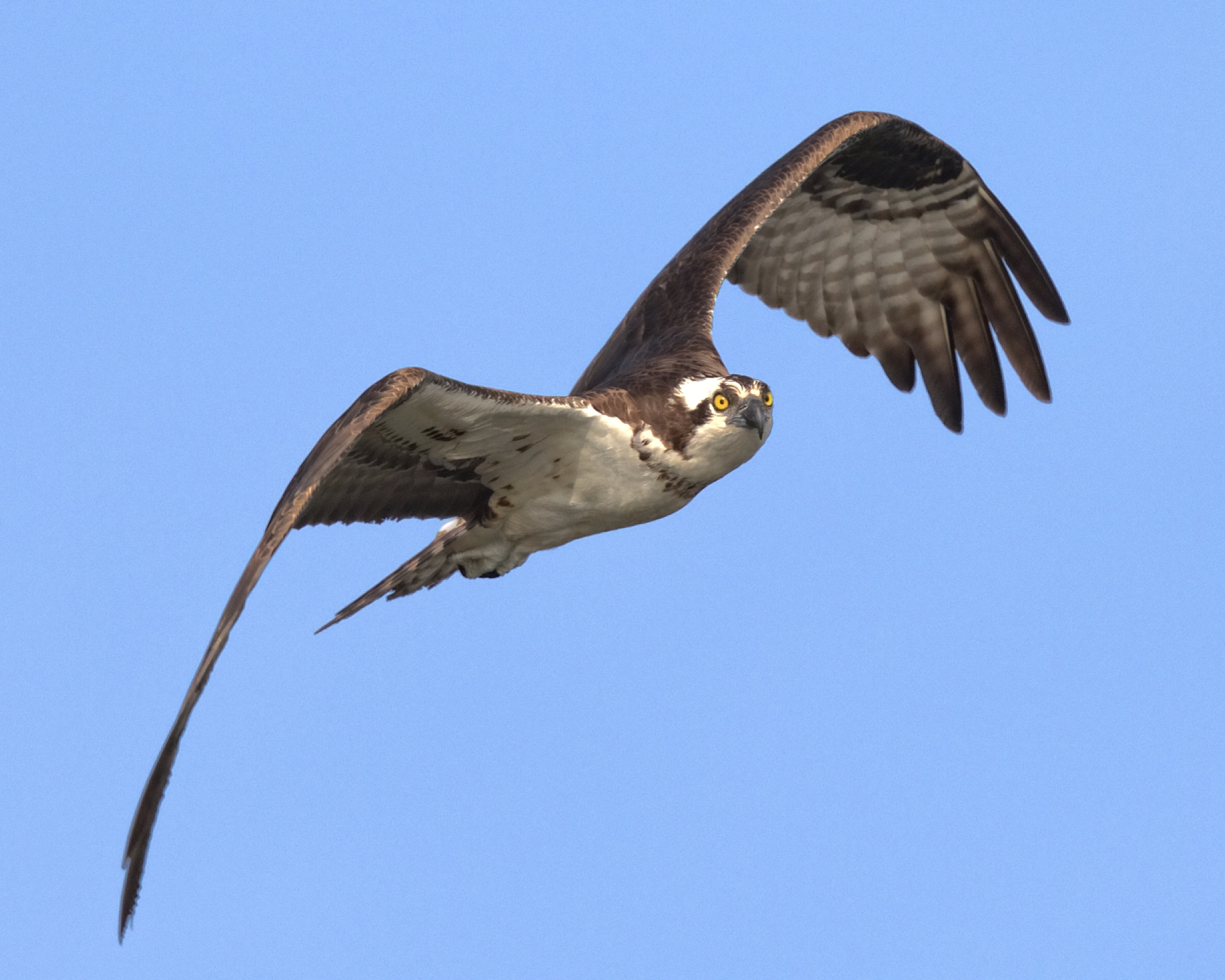 "An Osprey in flight turning into ""Final Approach"""