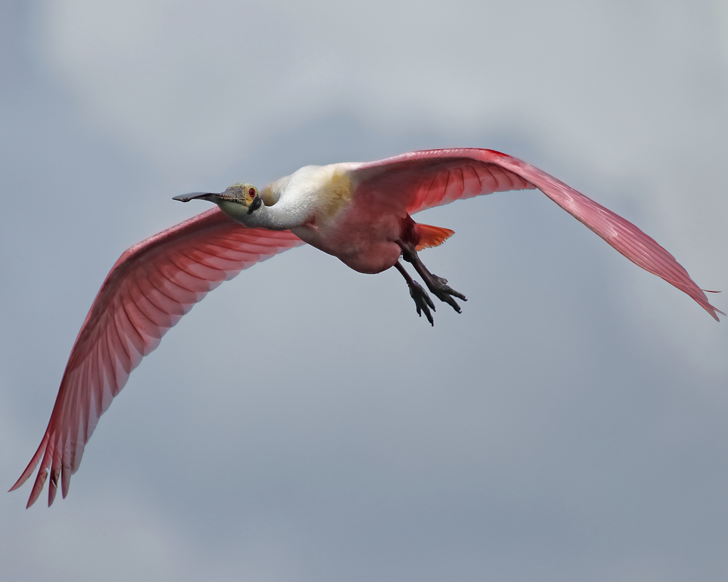 This plump Roseate Spoonbill flies by in search of the right stick too..
