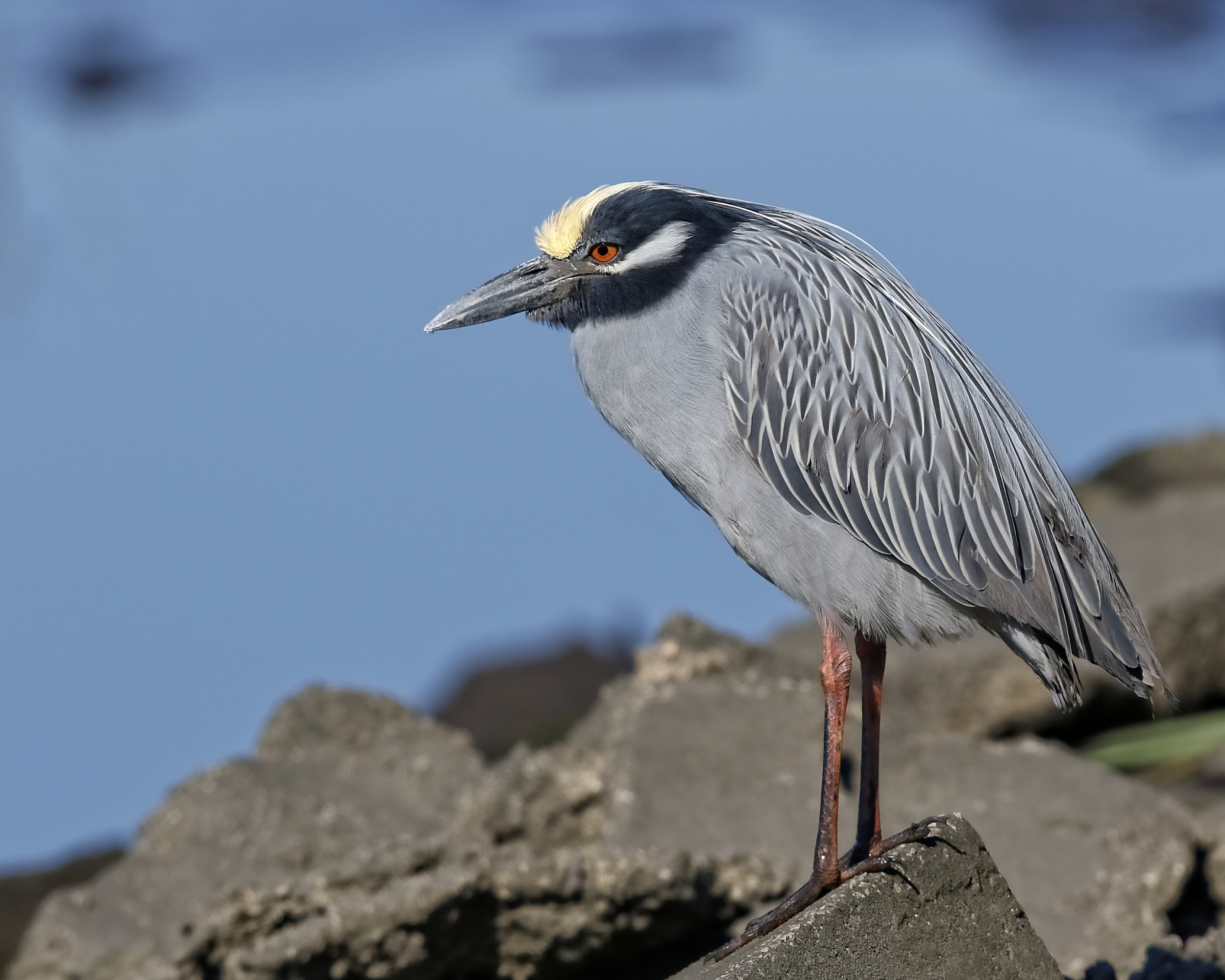 George, the Yellow Crowned Night Heron  has a gleam in those red eyes…the lovely Georgia, his mate, has returned.