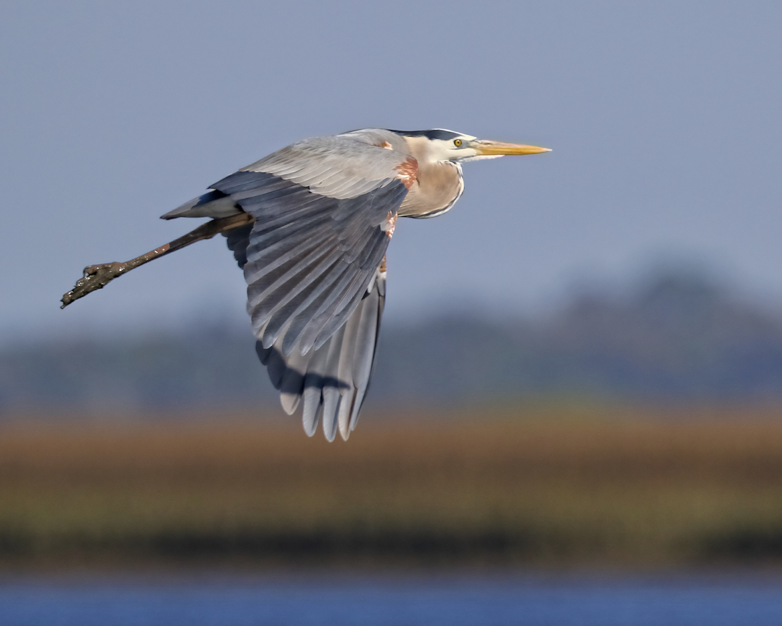 Great Blue Heron lifts off from the marsh at Sisters Creek.