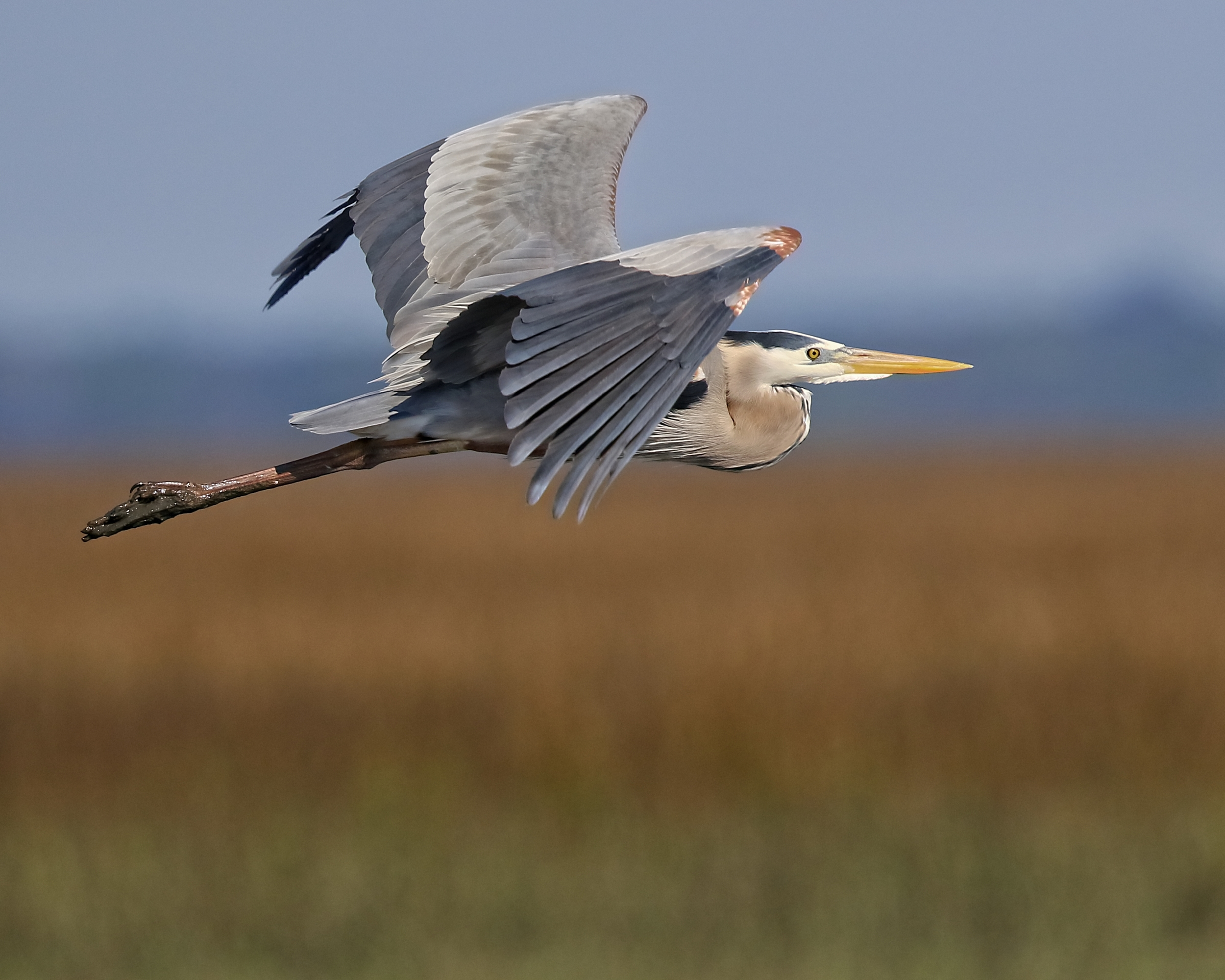 This Great Blue Heron has also risen…Hope you had a blessed Easter..