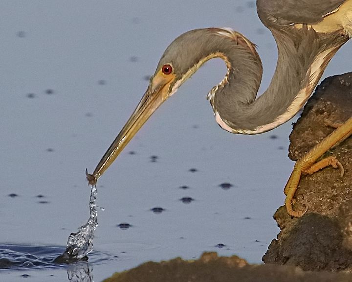 This tricolored heron spots a minnow and deftly plucks it with ease