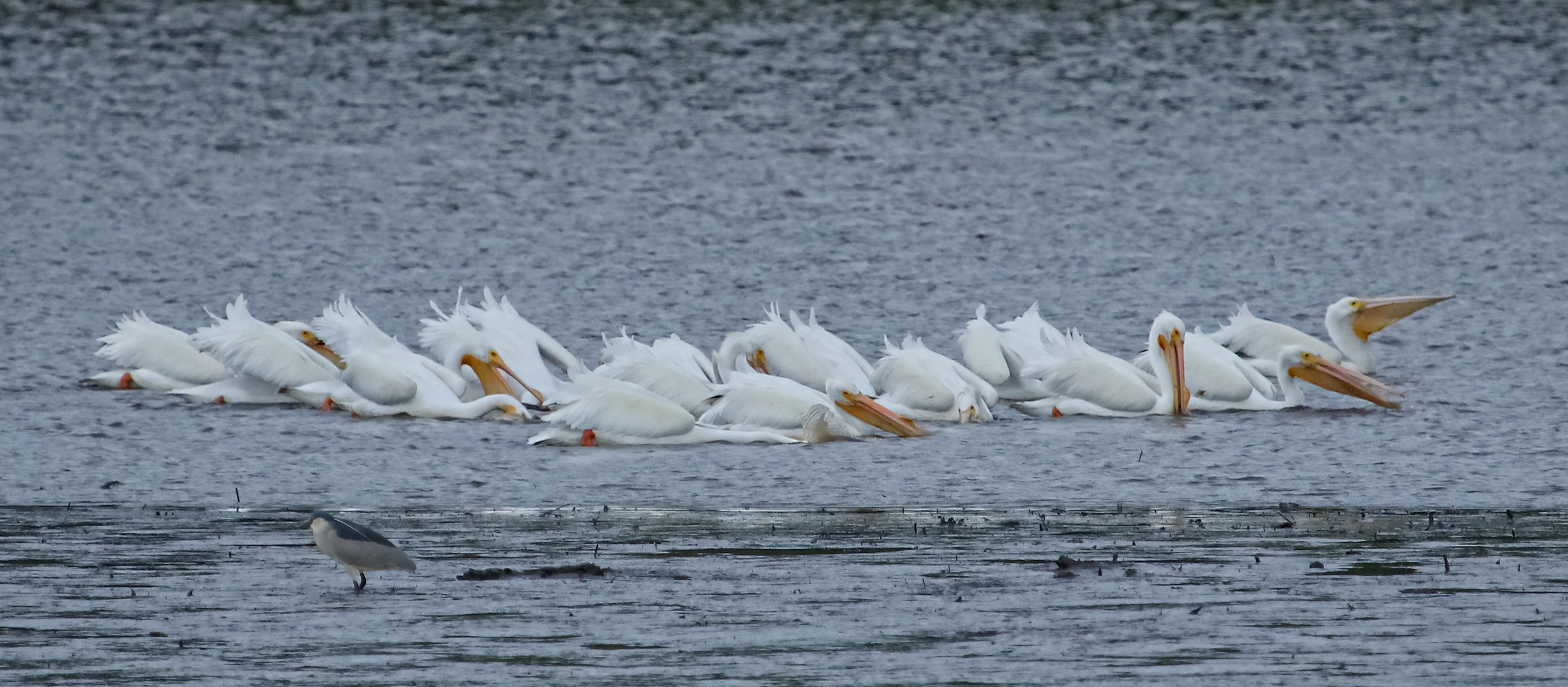 These White Pelicans are using the group and scoop method of fishin..