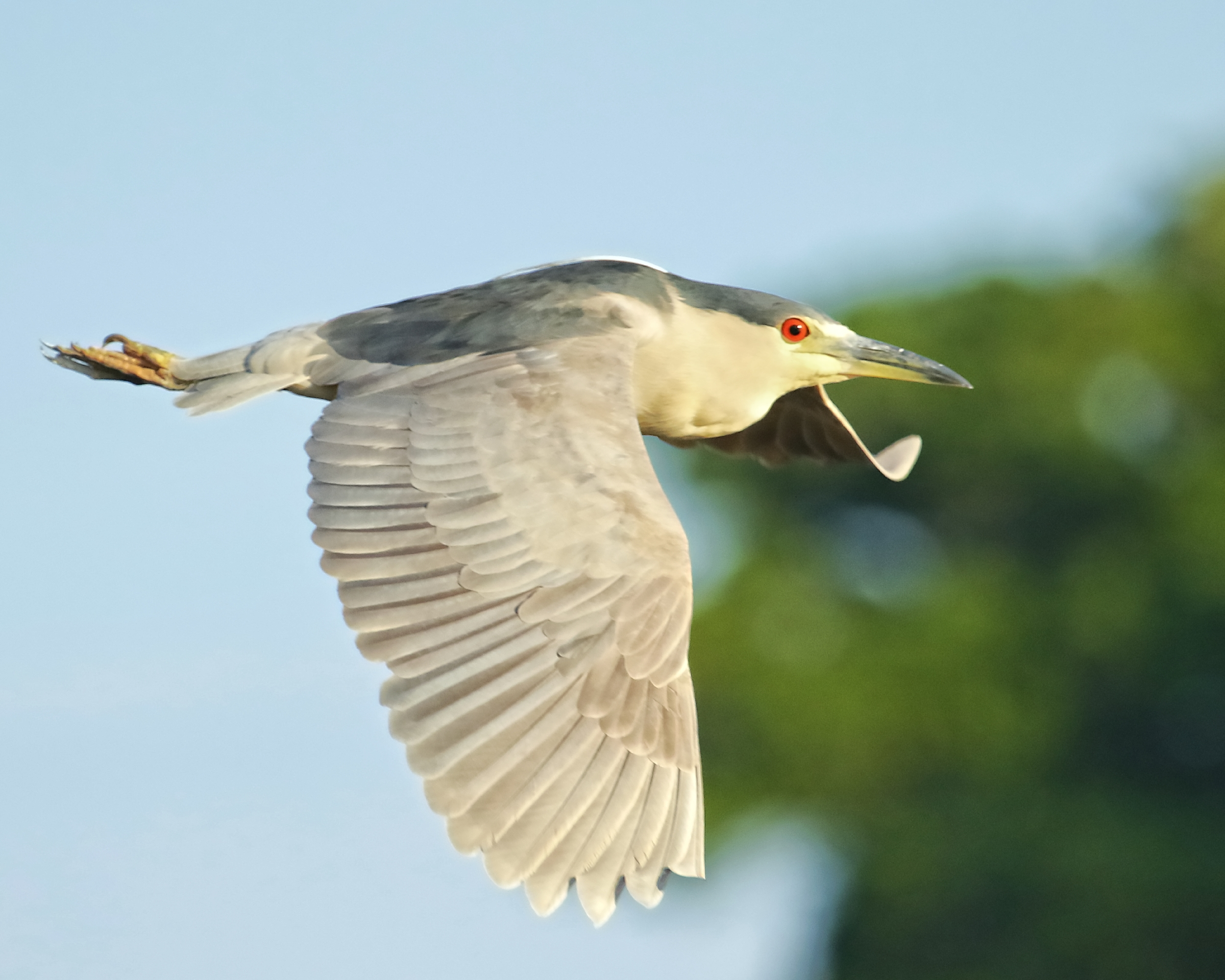 The Black Crowned Night Heron sets out at sundown for a night on the marsh…back at the Night Heron Hotel nest is a sign that says….gone fishin