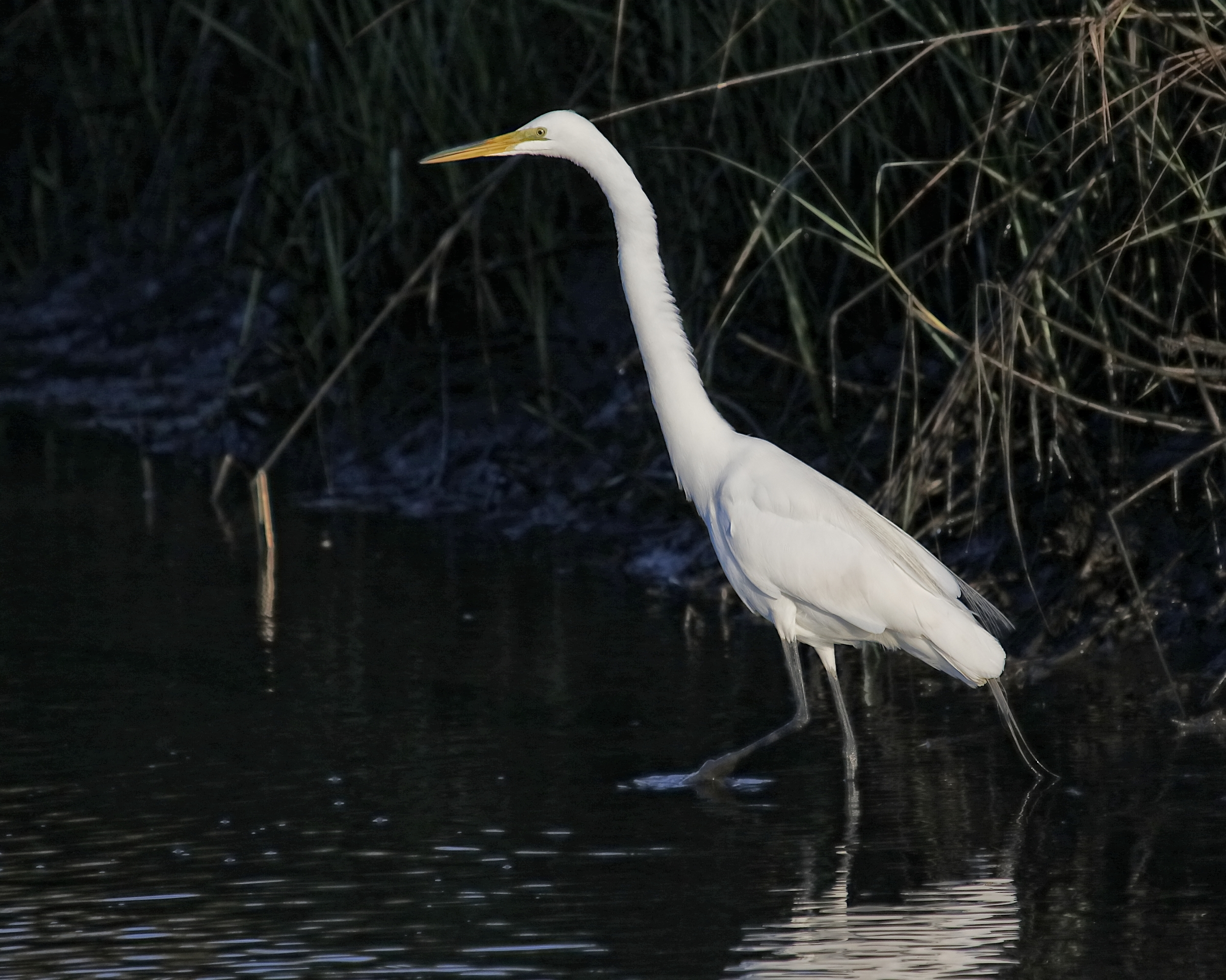 The next morningbegins as usual, The Great Egret finds a nice quiet spot in the marsh to hunt for minnows.