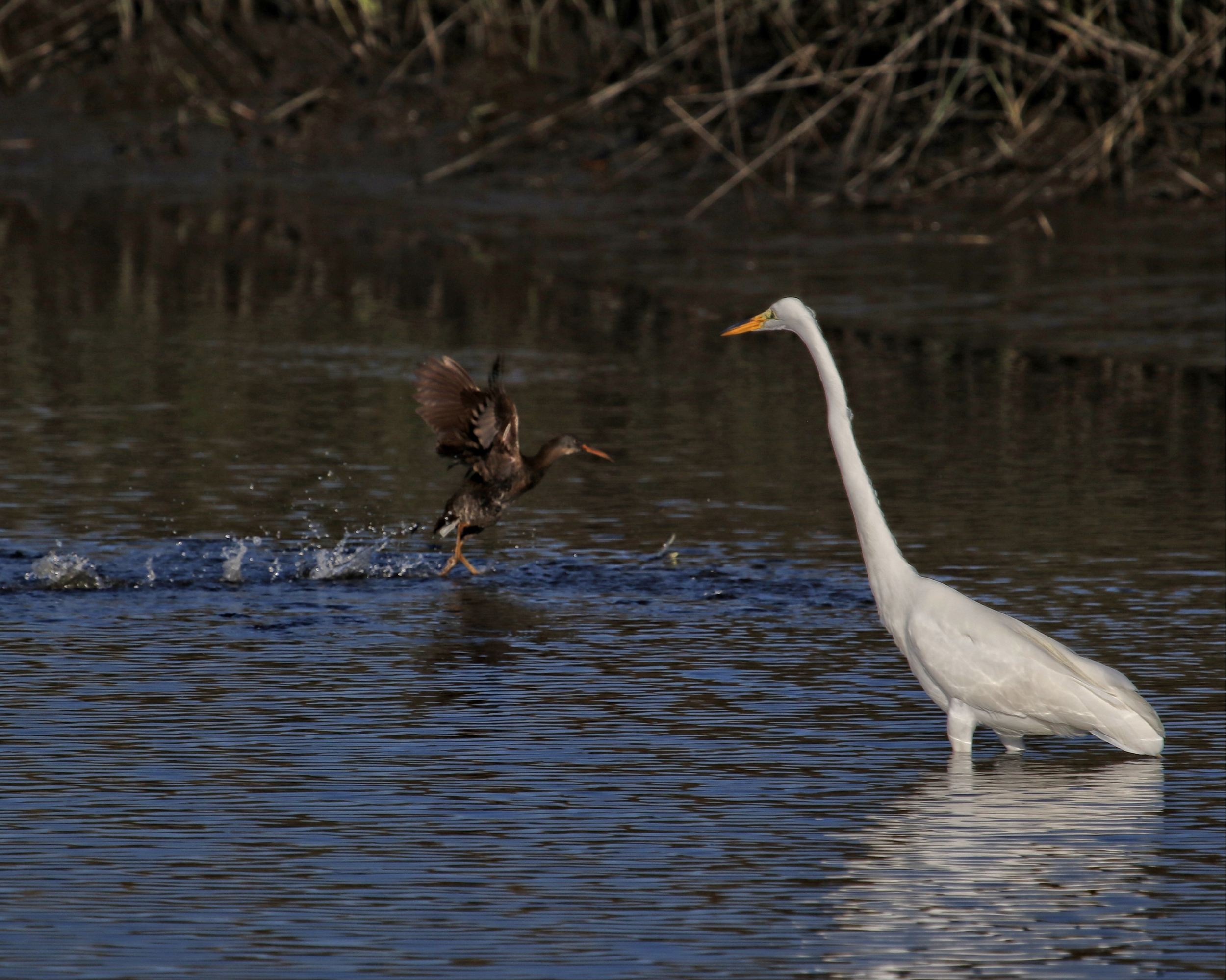 """When suddenly out jumps the clapper rail . The Great Egret says""""It's  the boogey bird !"""
