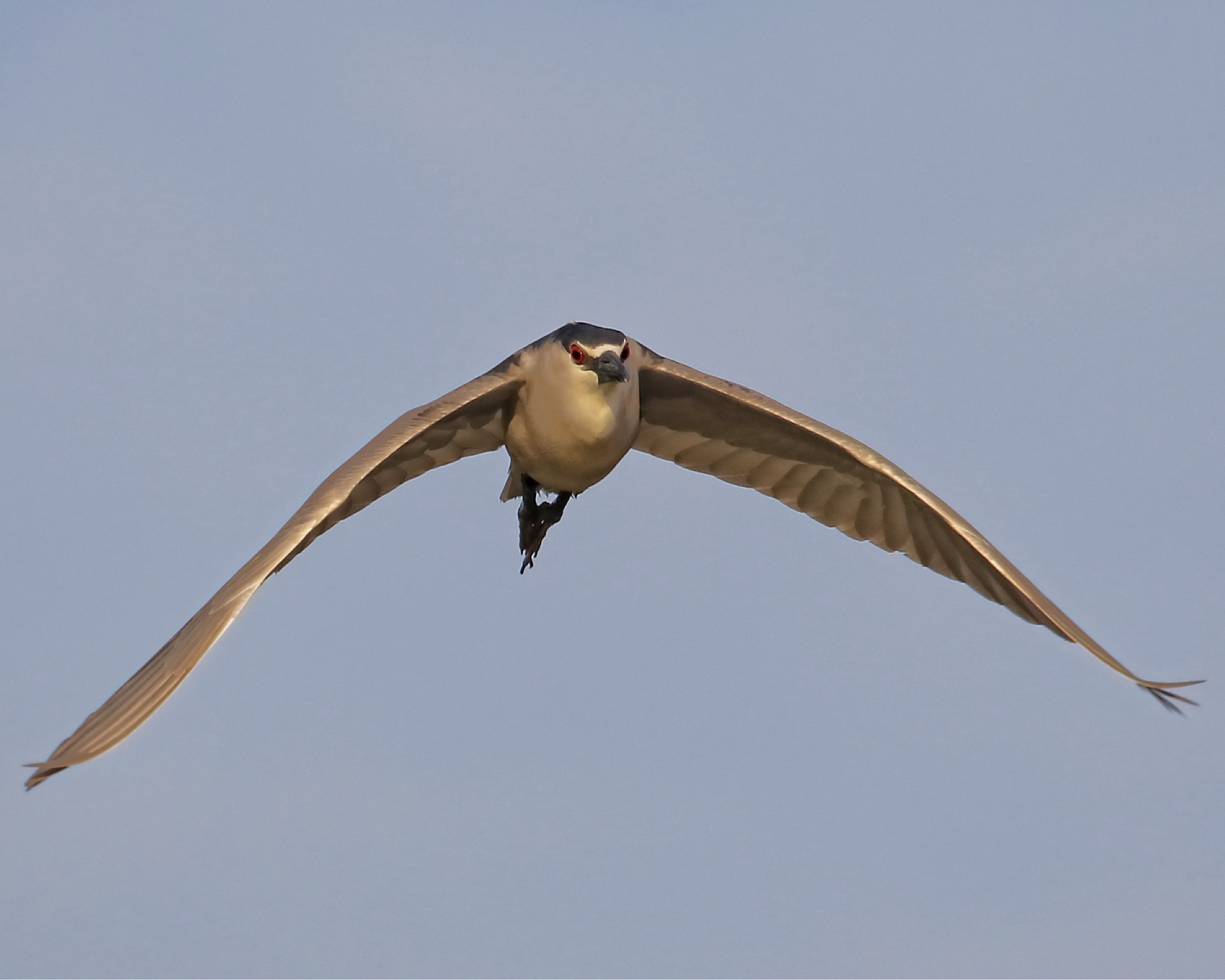 Then I spot the Black Crowned Night Heron taking the Red Eye flight home after a night on the marsh