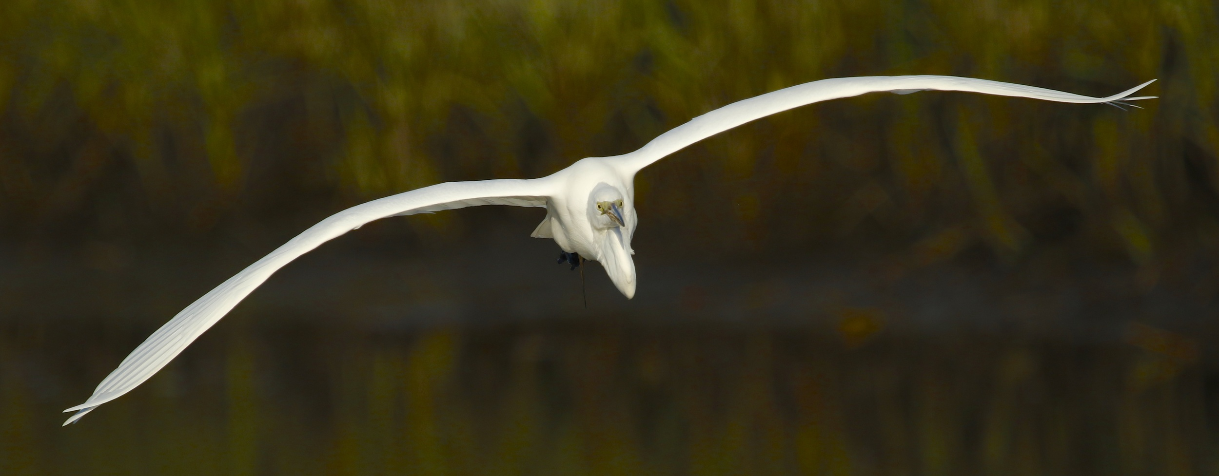 Suddenly a Great Egret comes flying around the bend and does not see the Clapper Rail ….