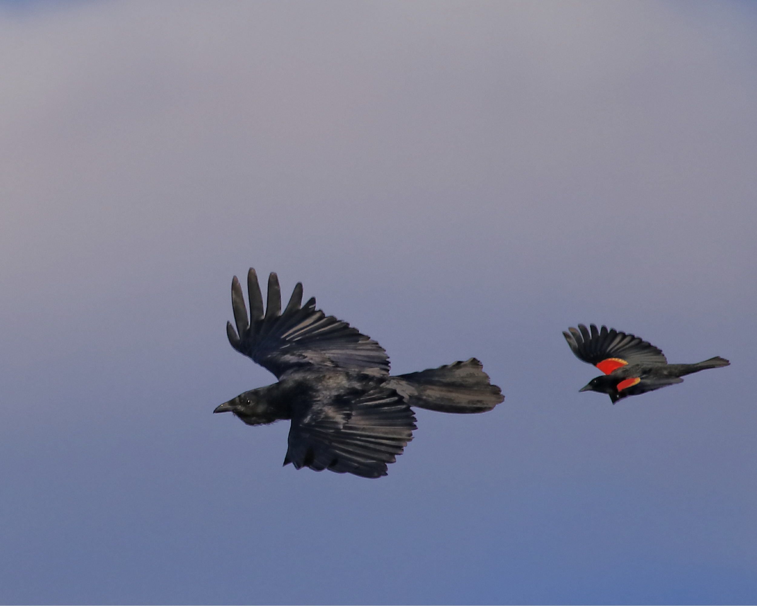 This Crow has a RedwingedBlackbird bogey on his tail feathers!