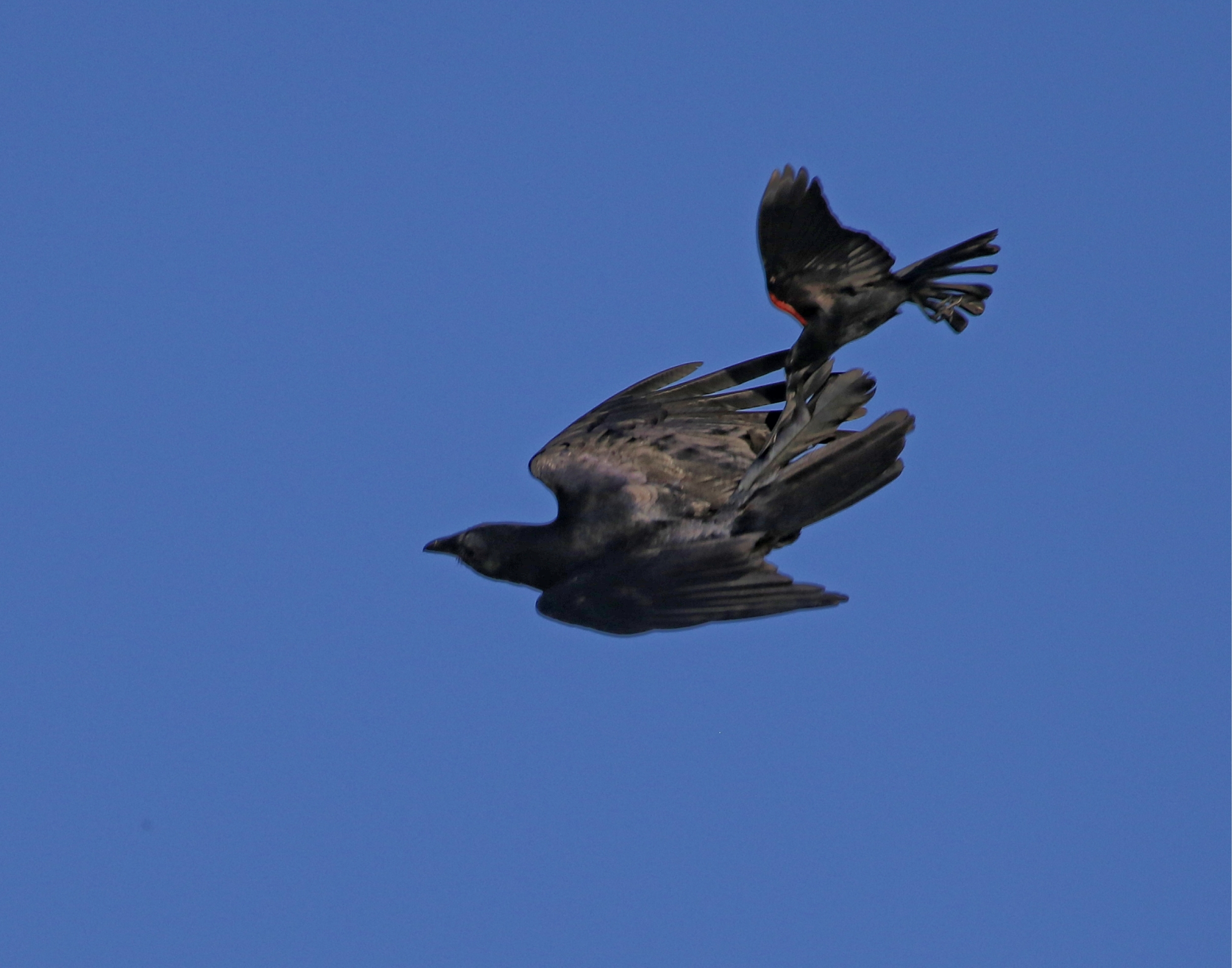 And Stay out of here!…Plucky lil red winged Blackbird grabs the crow by the tail!
