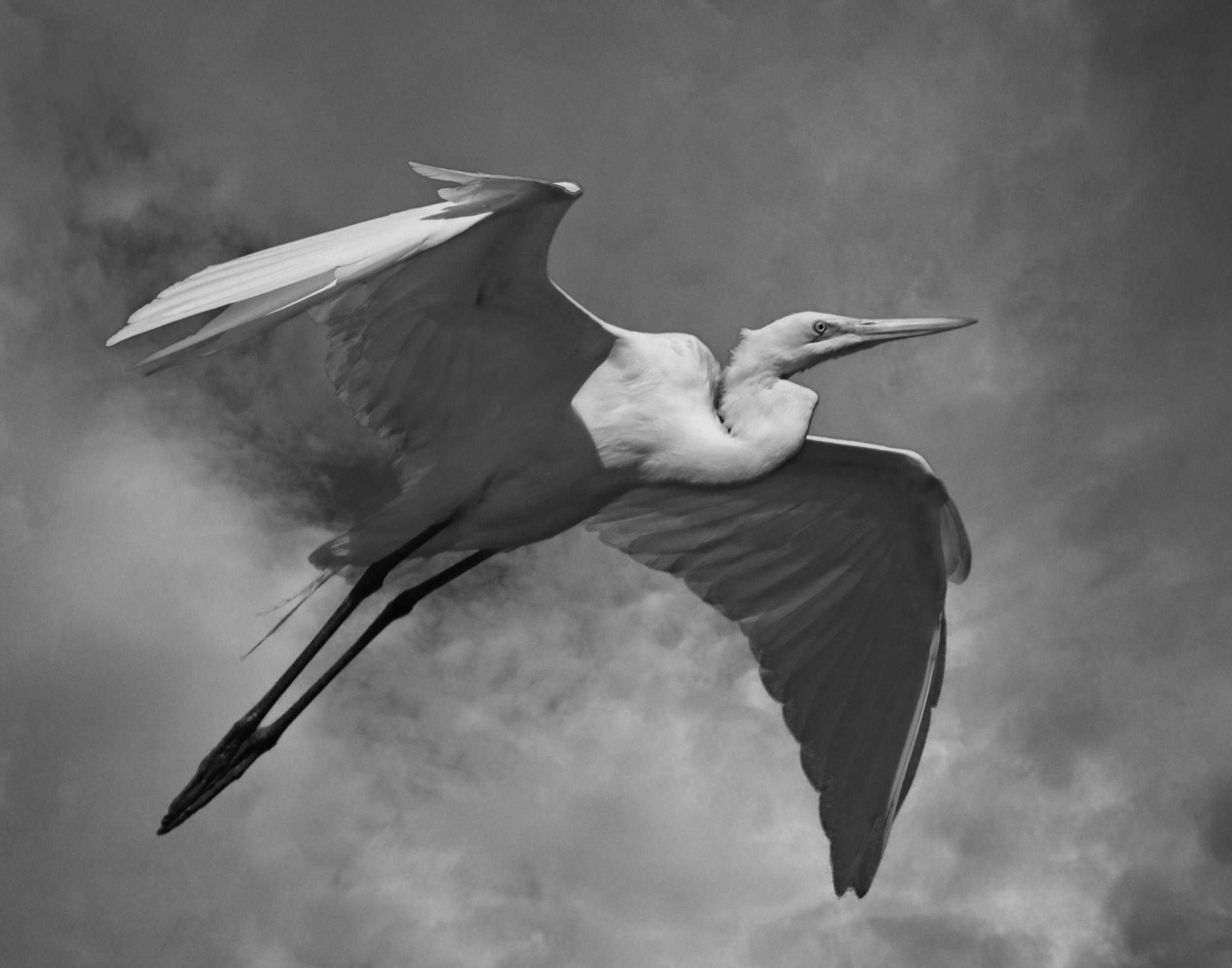I came from a long line of Great Egrets..this is my Fourth Great Grandbirdfather..