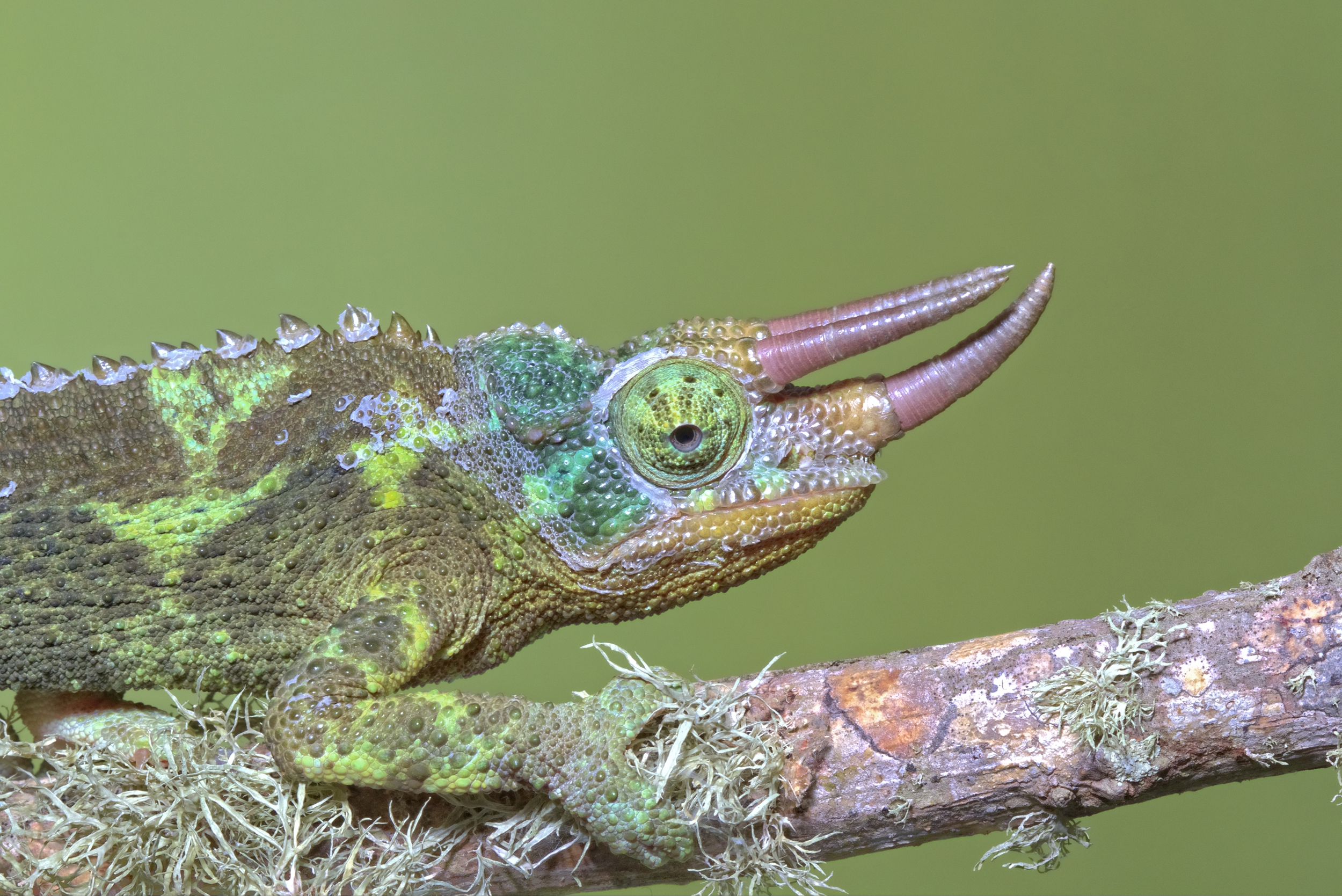 Hi, I am the Lizard of Oz. Jacksons Chameleon male, East Africa
