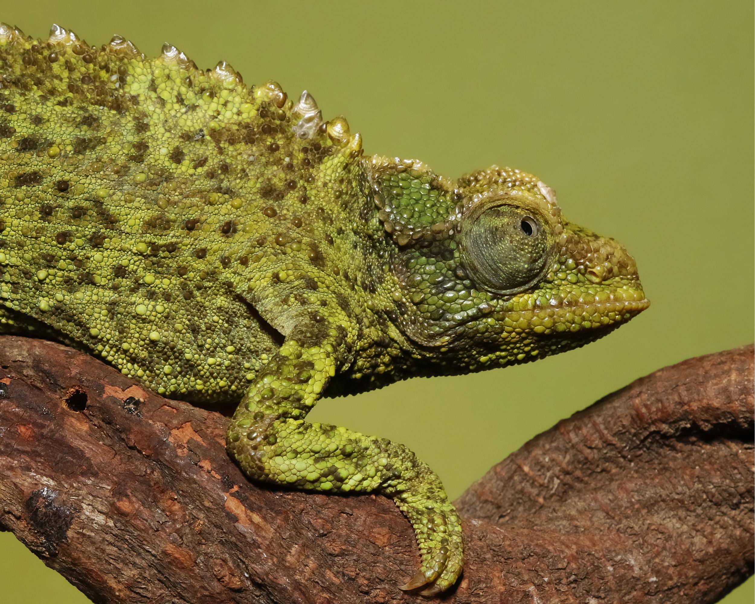 Meet the little lady lizard of Oz..Jacksons Chameleon female.