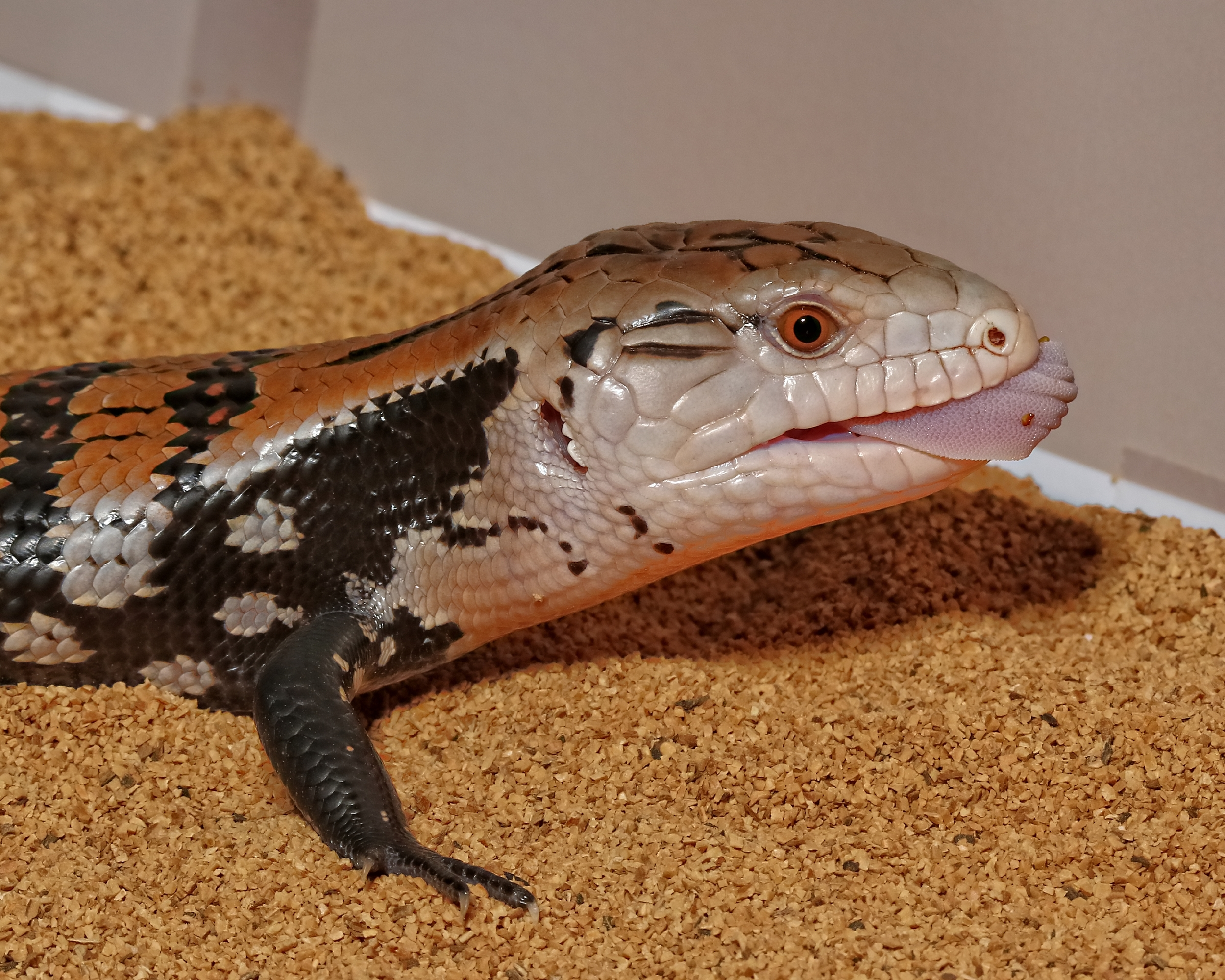 Blue Tongued Skink…help my tongue ith thtuck..