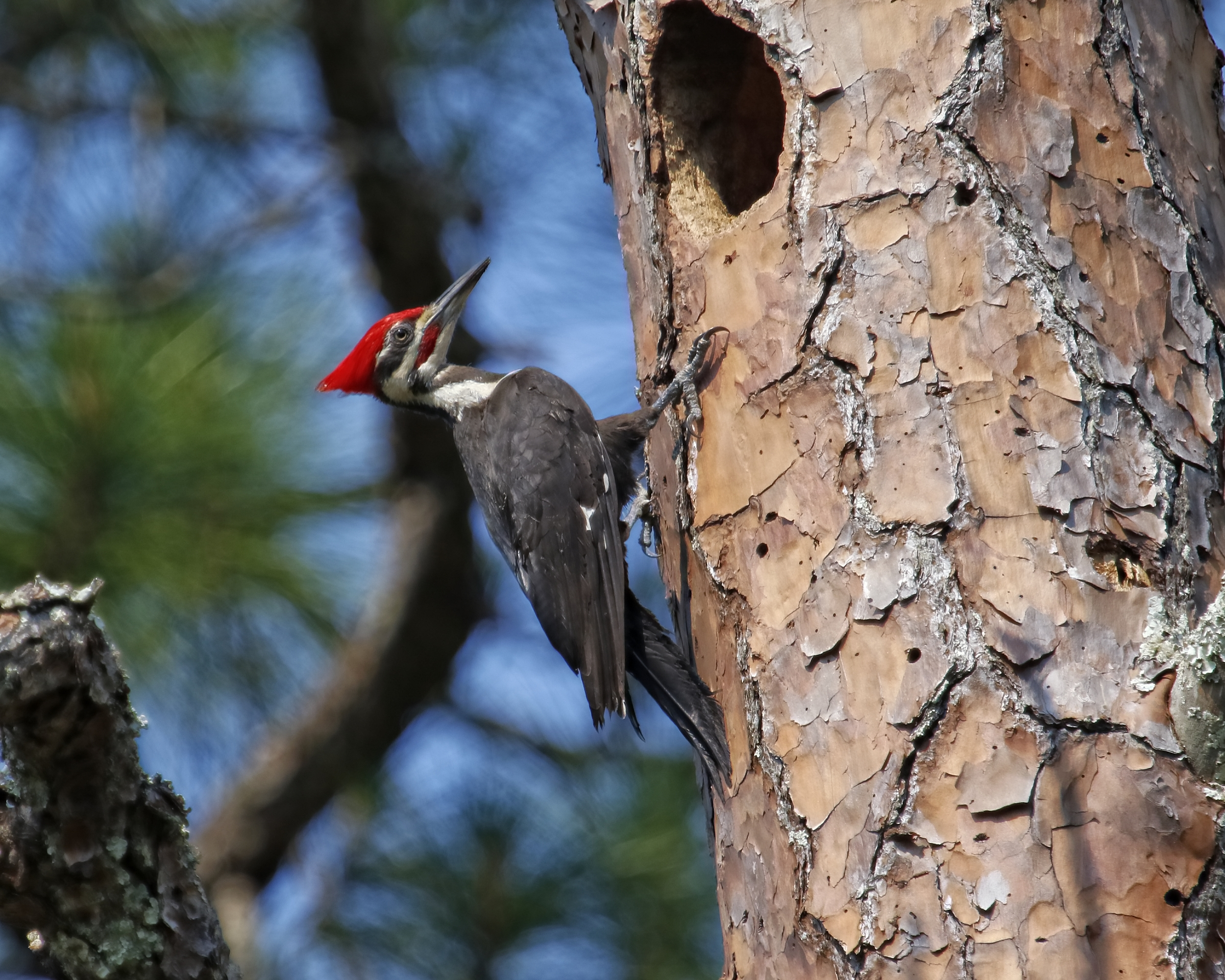 Male Pileated Woodpecker (note red stripe under the beak) at the nest.