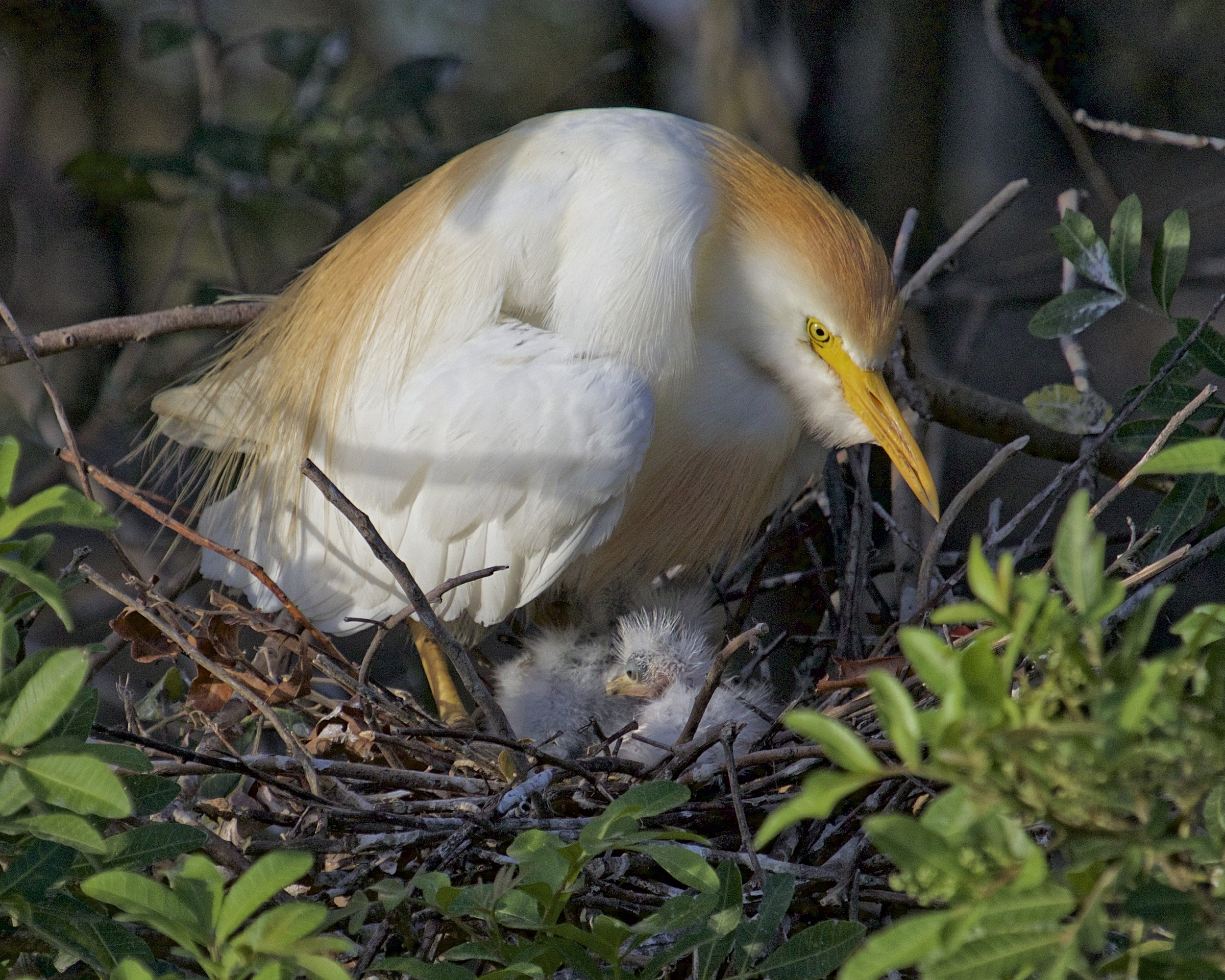 Marsh birds by the hundreds have made their nest in the Stick Marsh. These Cattle Egret hatchlings are hours old and being protected by their Mom who keeps a wary eye on us.