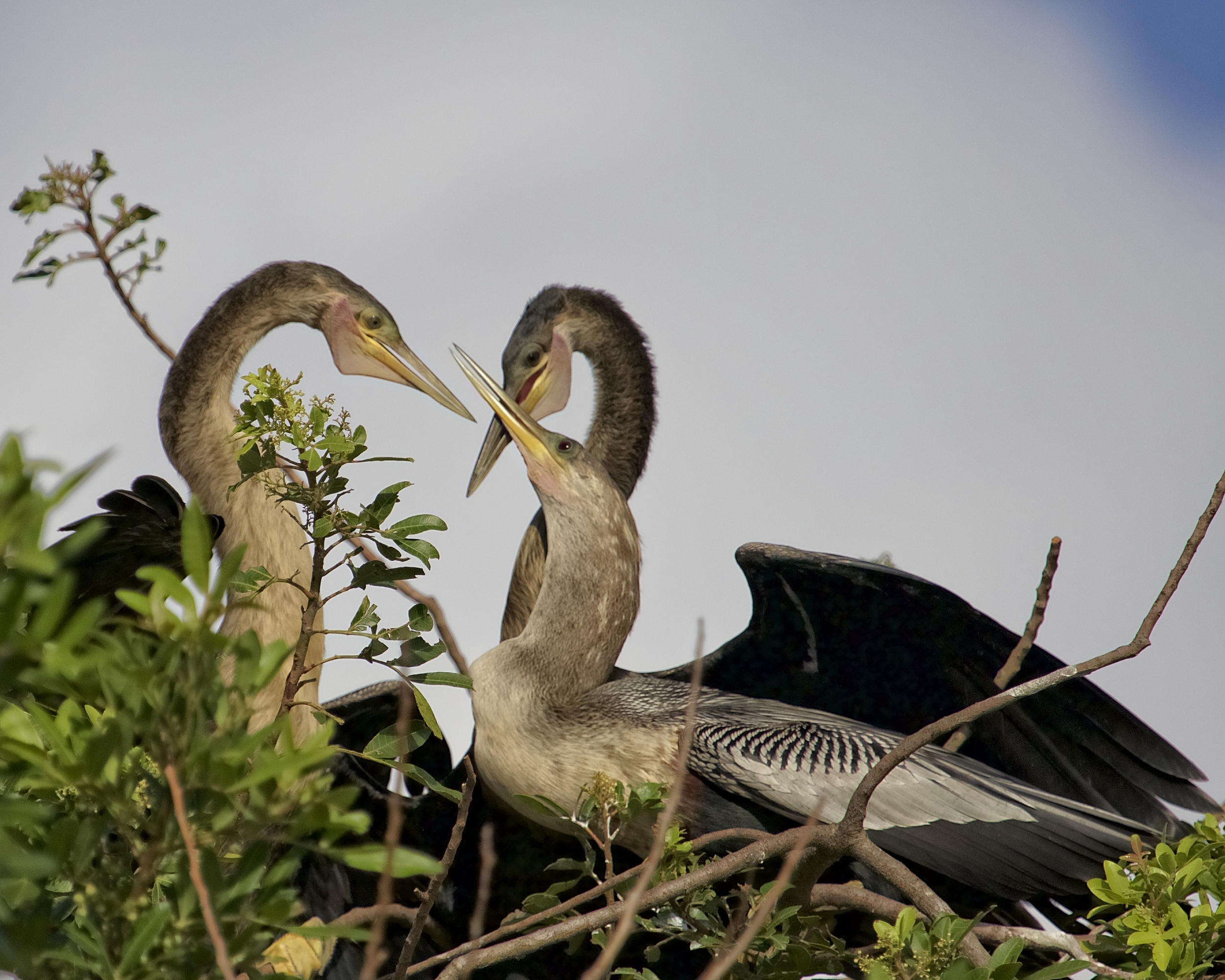 Some fledglings like this Anhinga seem reluctant to leave the nest no matter what the parents say. Why leave free room and board..sound familiar?
