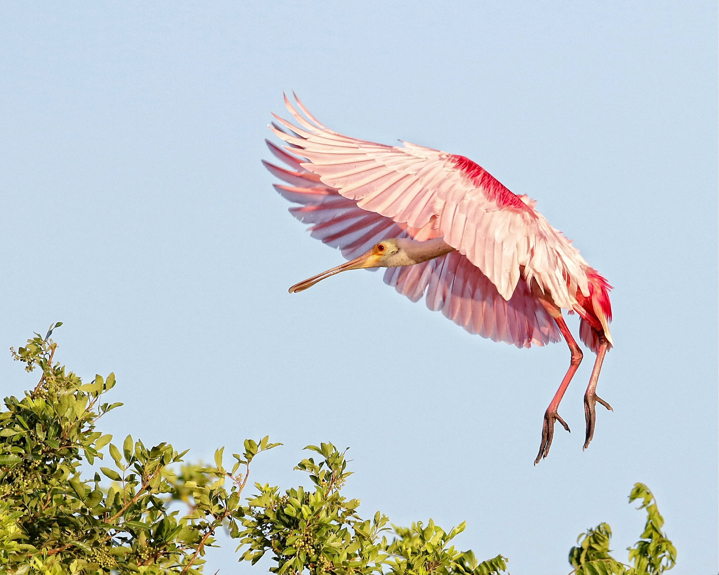 The Spoonbill spots an open branch for landing and spreads its wings..