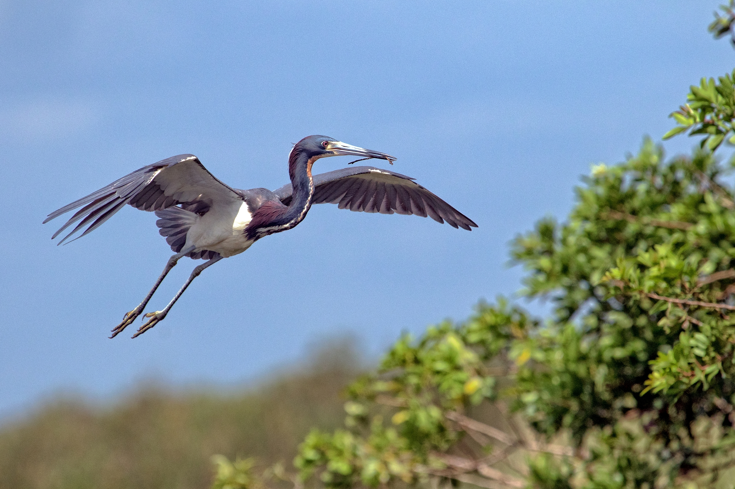 This Tricolored Heron spent hours bringing in sticks for nesting material