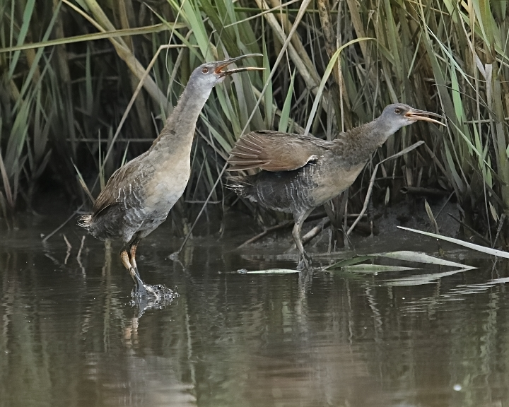 """The Clapper Rail said to his friend, """"If the Pink Coats march By land or air from the Broward tonight, Hang a lantern aloft in the belfry arch Of the North Jax Baptist tower as a signal light,–One if by land, and two if by air;"""
