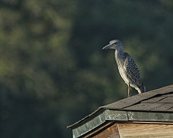 A juvenile Black Crowned Night Heron is up early as dawn breaks on the Broward, patientlywaiting for the tide to turn.