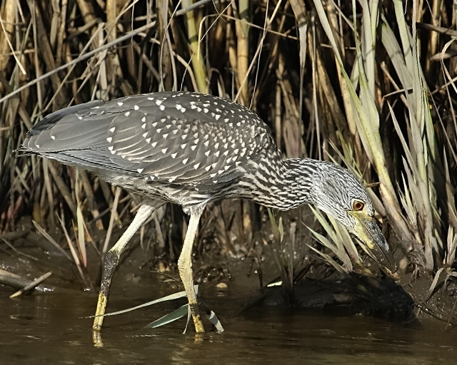 The young night heron begins to search for food in the muddy flats exposed by the ebbing tide.