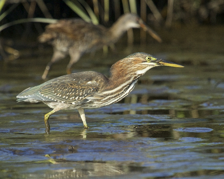 I spot two Little Green Herons up early searching for food..one spots me and flies to the other side of the channel while the other searches the mud..What is that the little heron is eating I wonder..