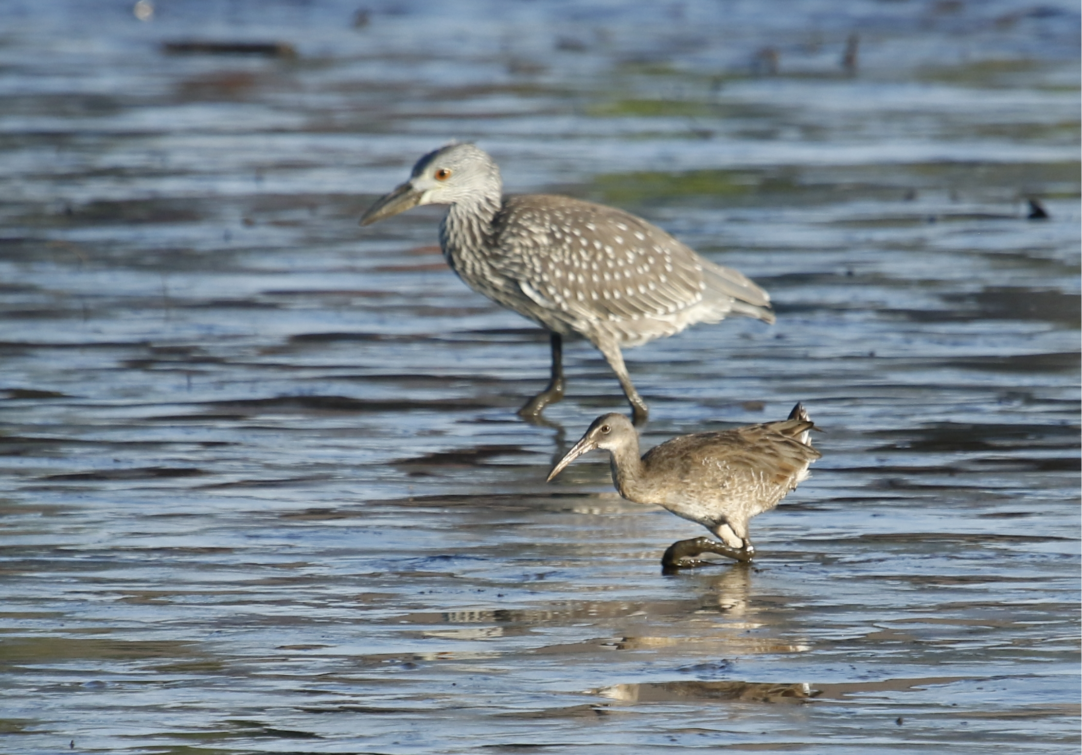 It is another Muddy Monday morning on the Broward as these young birds hunt for food seemingly unaware of the dangers above.